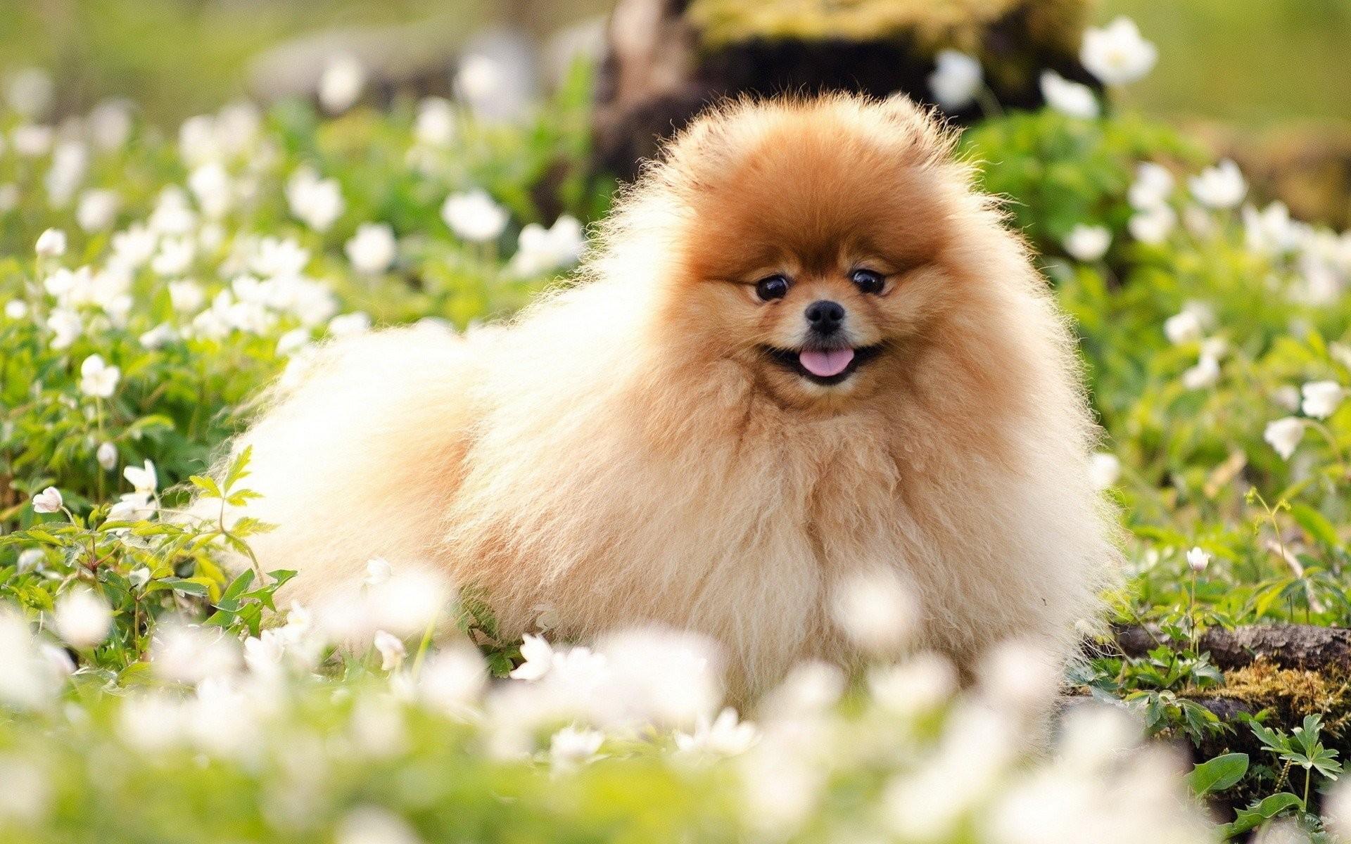 Pomeranian Wallpaper 61+ images