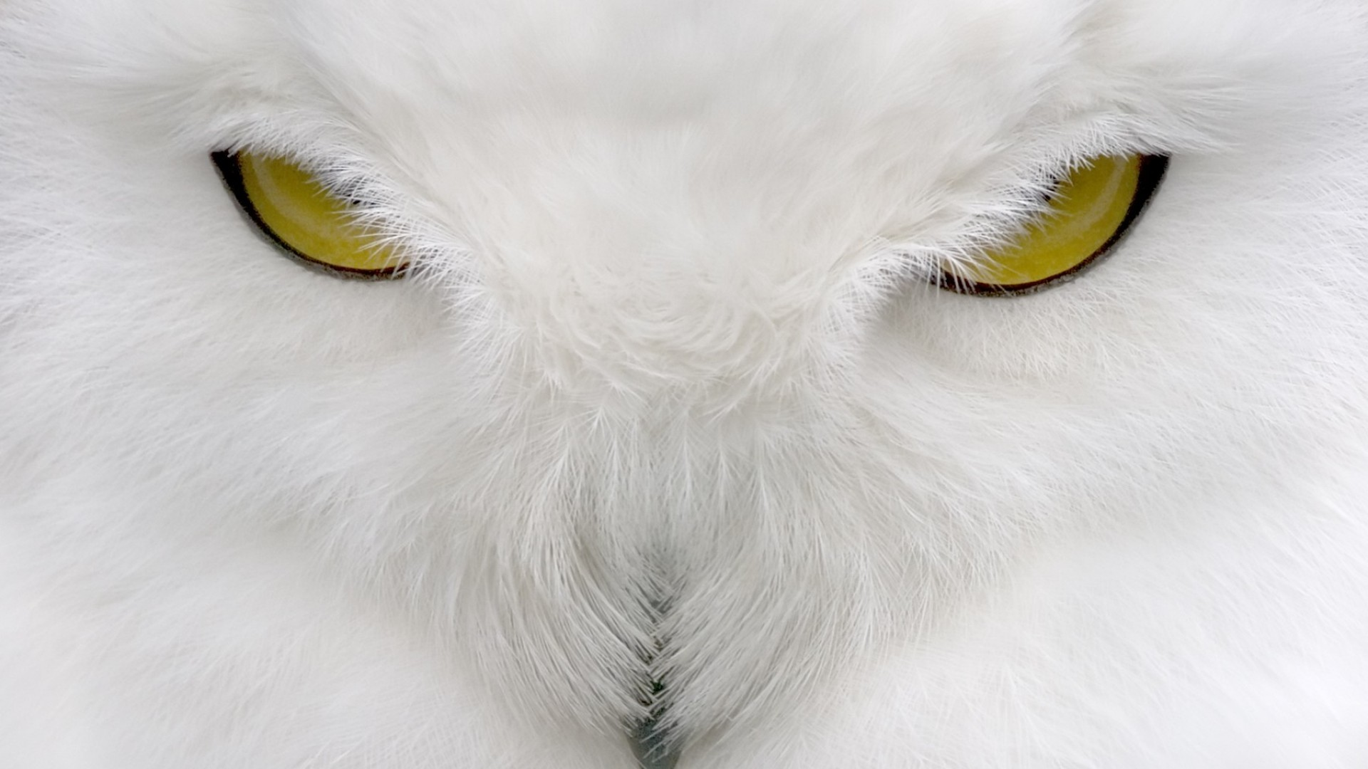 White Owl Wallpaper (65+ images)