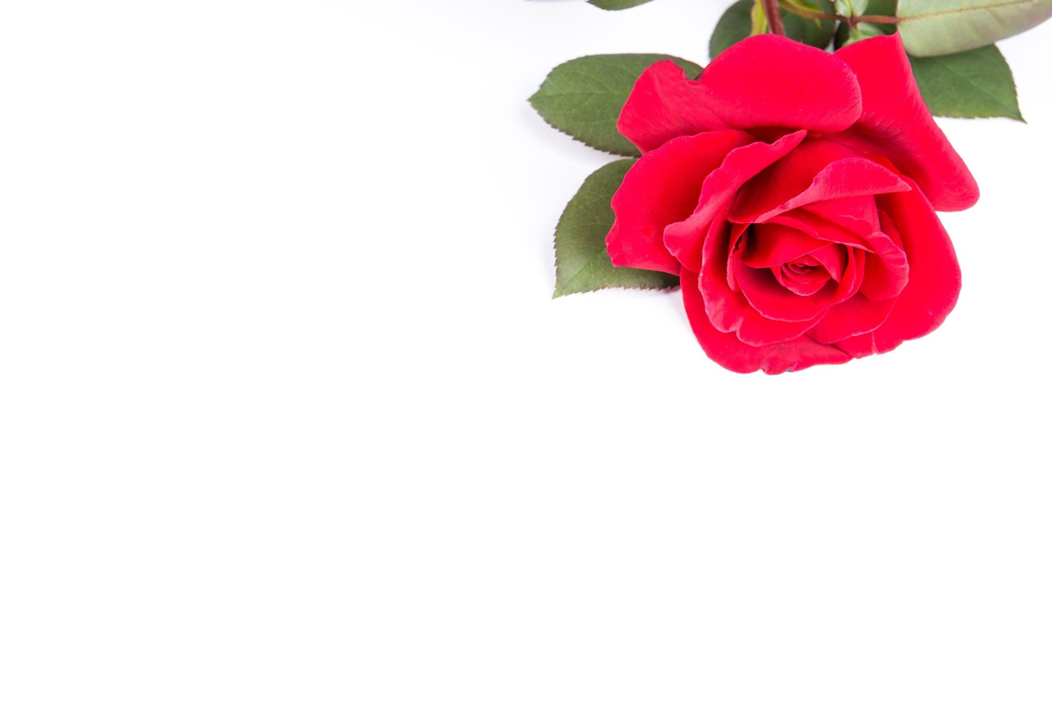 2048x1367 A single red rose from my garden on a plain white background.
