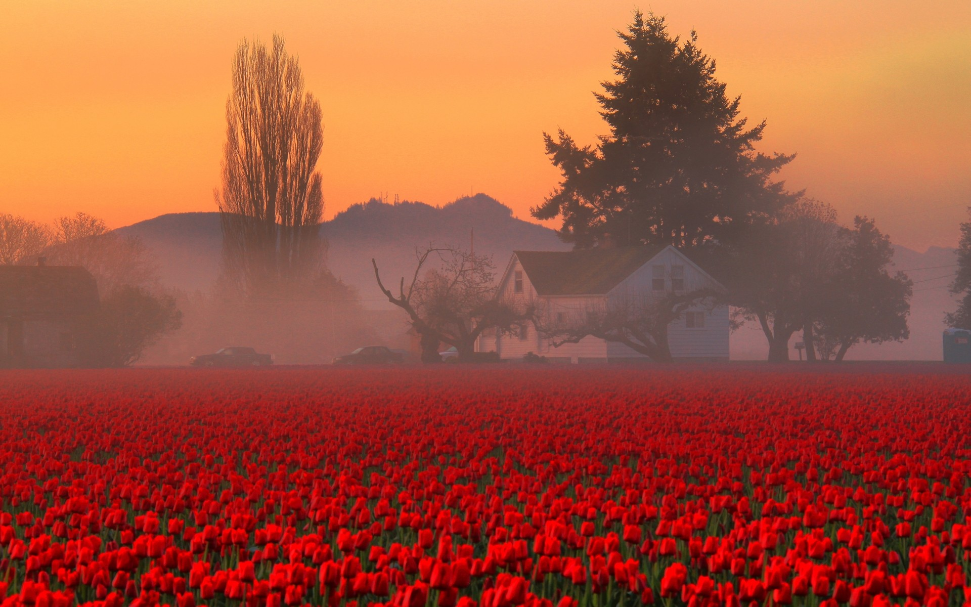 1920x1200 ... Red Tulips HD Wallpaper ...