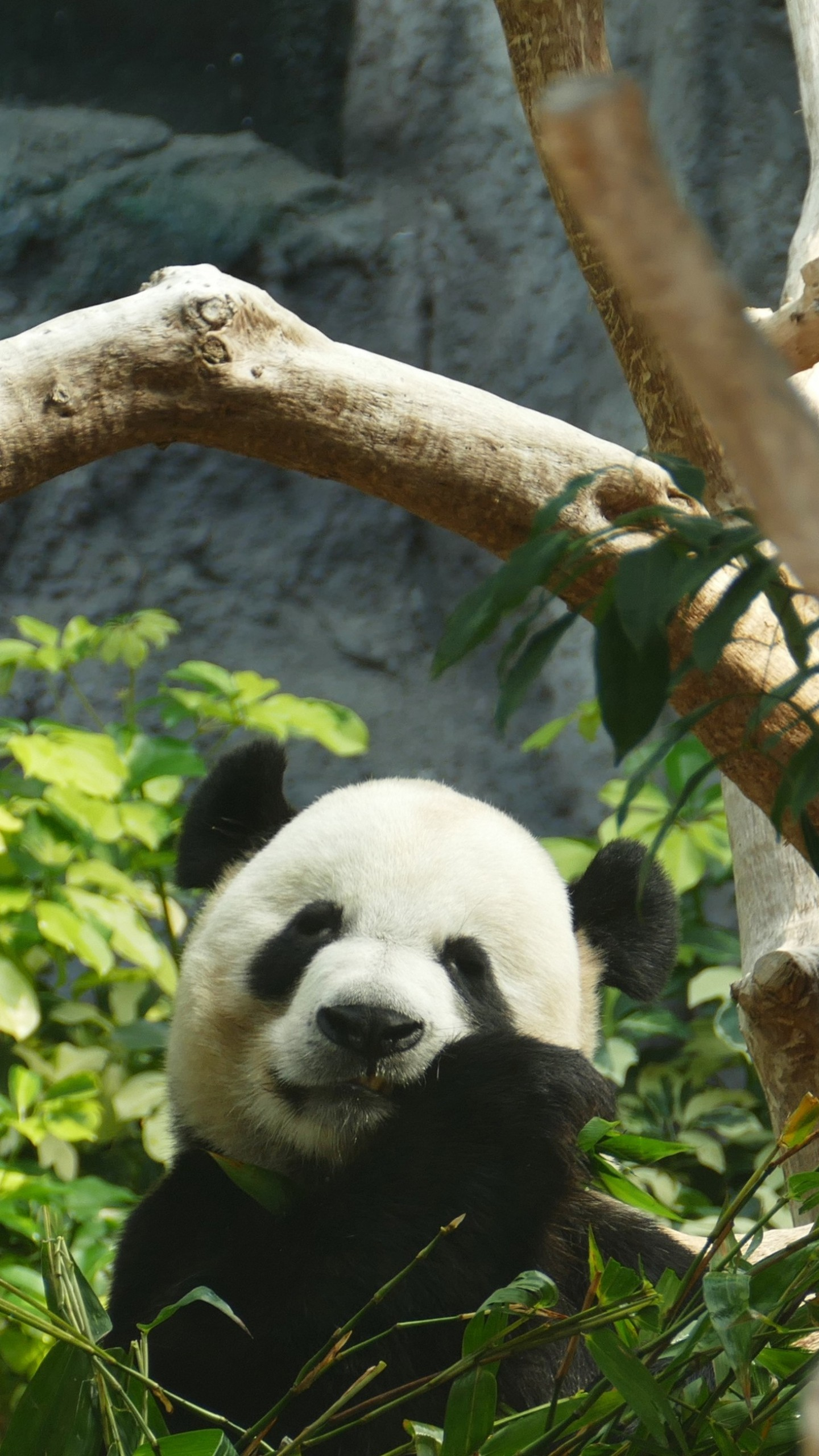 1440x2560 Preview wallpaper panda, bamboo, wood