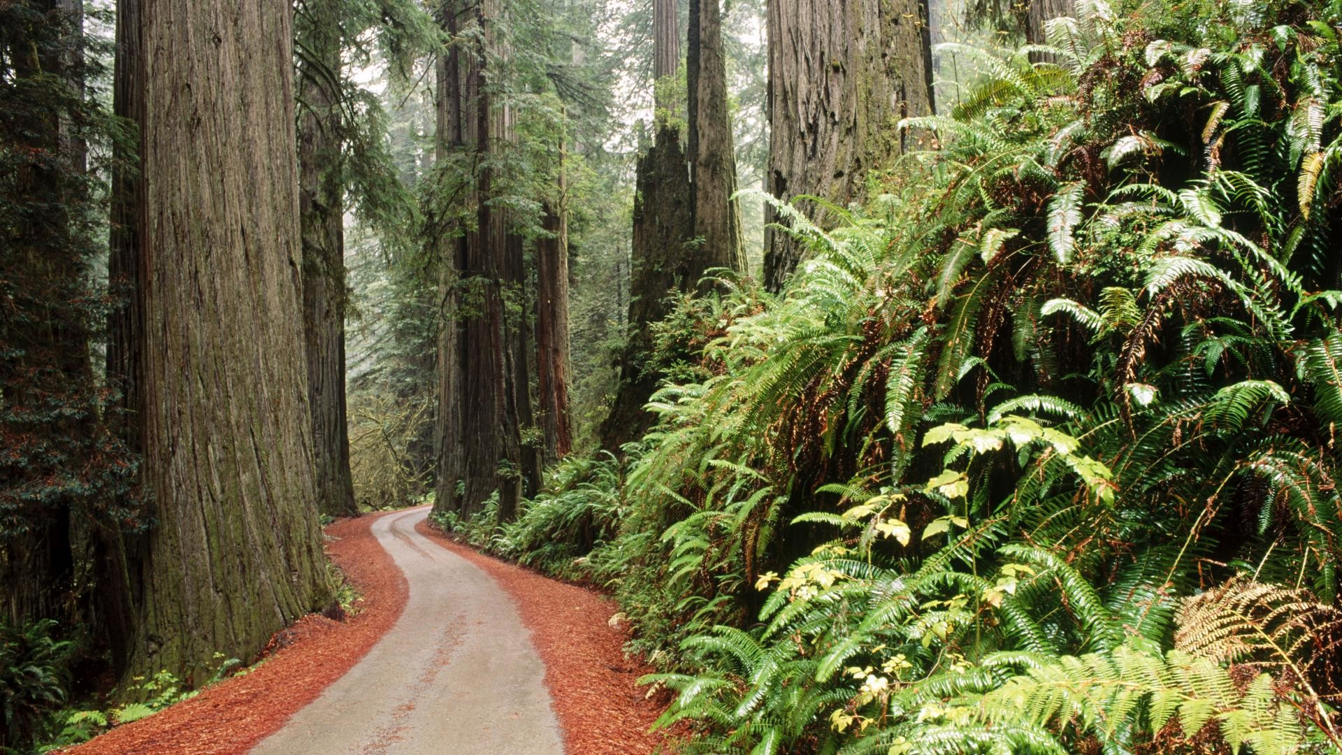1920x1080 Download Background - Redwood National Park, California - Free Cool  Backgrounds and Wallpapers for your Desktop Or Laptop.