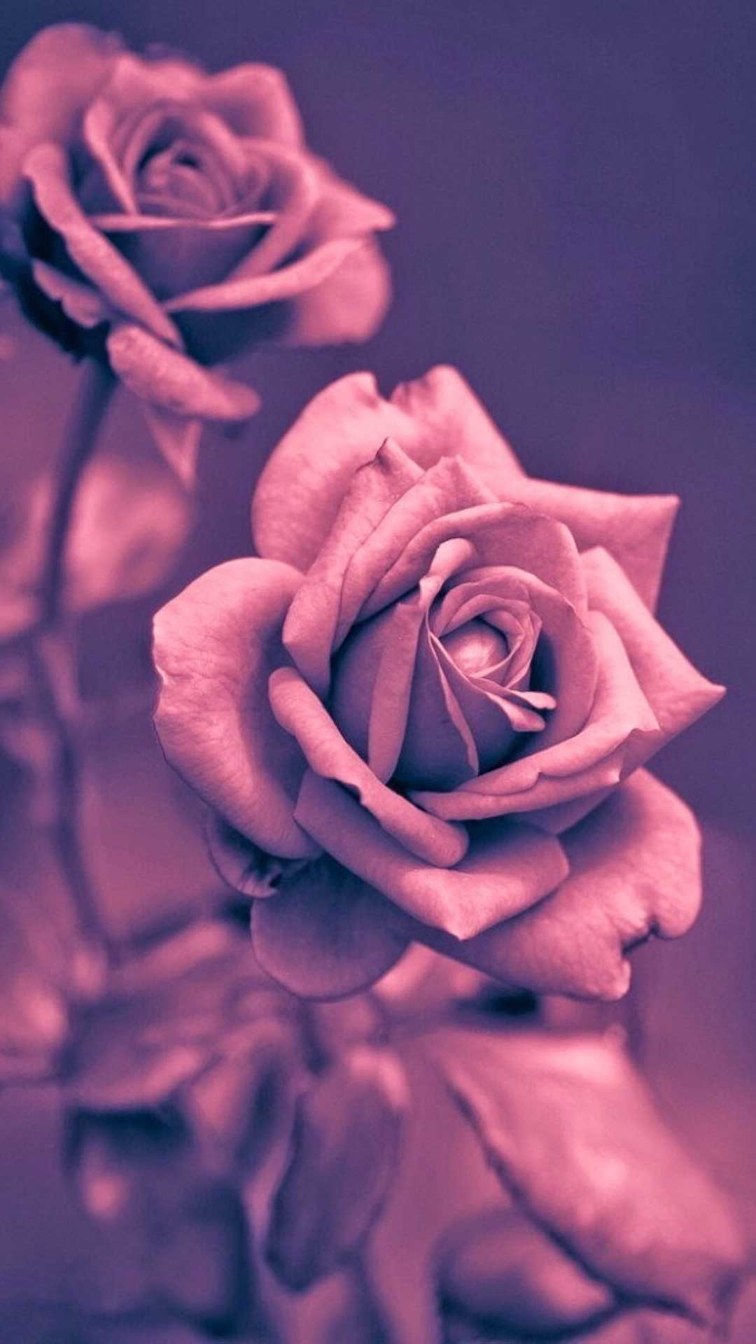 Rose gold iphone wallpaper 79 images - Pink rose black background wallpaper ...