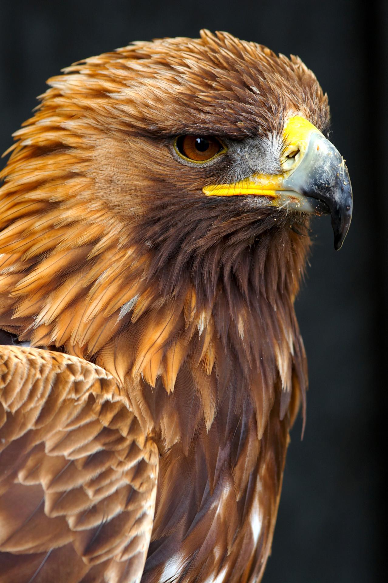 Golden eagle wallpaper 61 images for Gold bird wallpaper