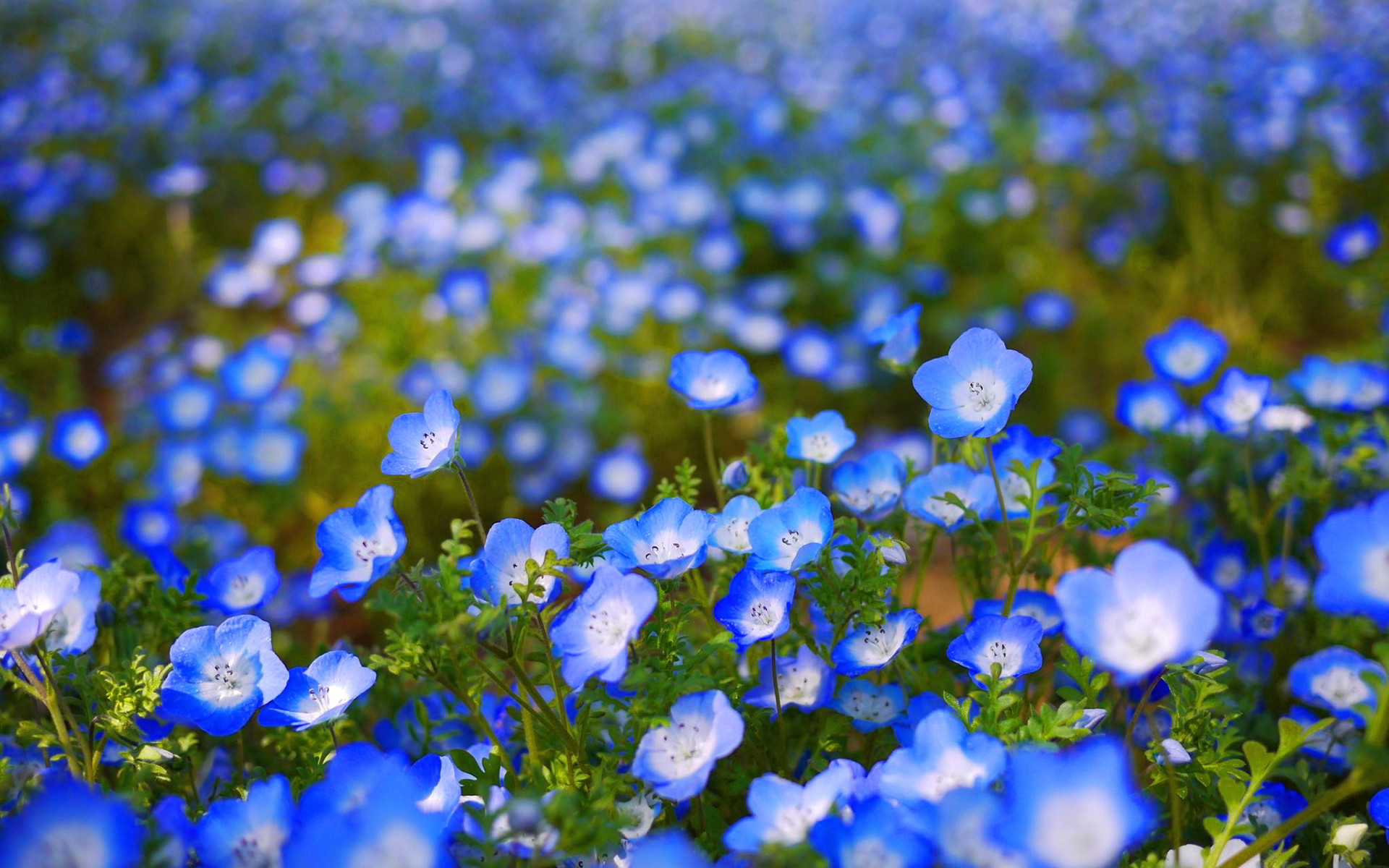 1920x1200 Blue Flower Wallpaper 1080p