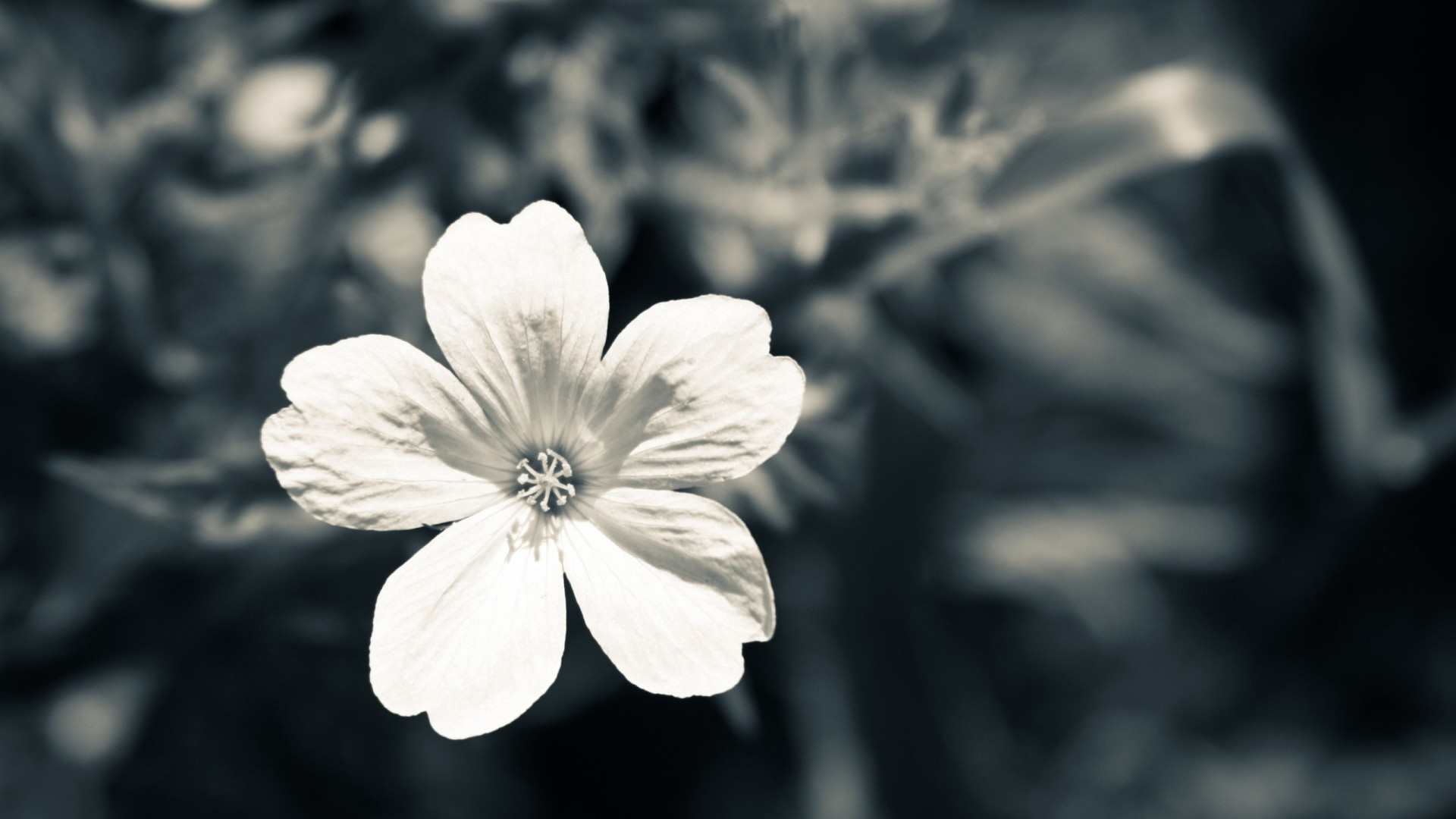 Black And White Flower Wallpaper 56 Images