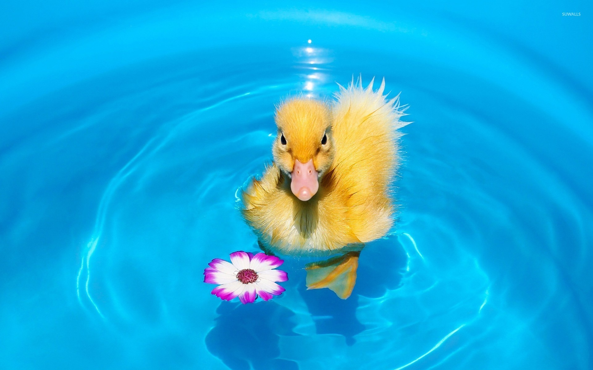 1920x1200 Swimming duckling wallpaper