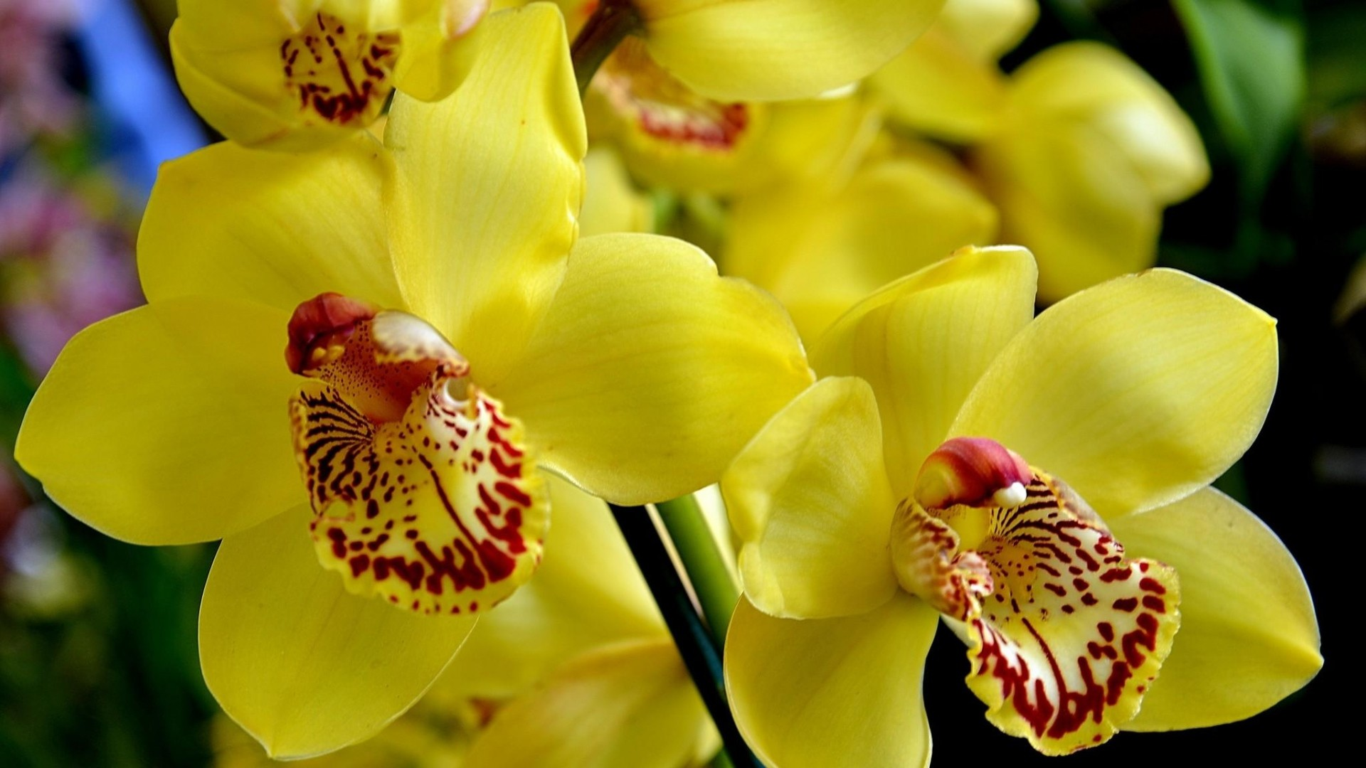 Beautiful Orchid Flower Wallpaper 43 Images
