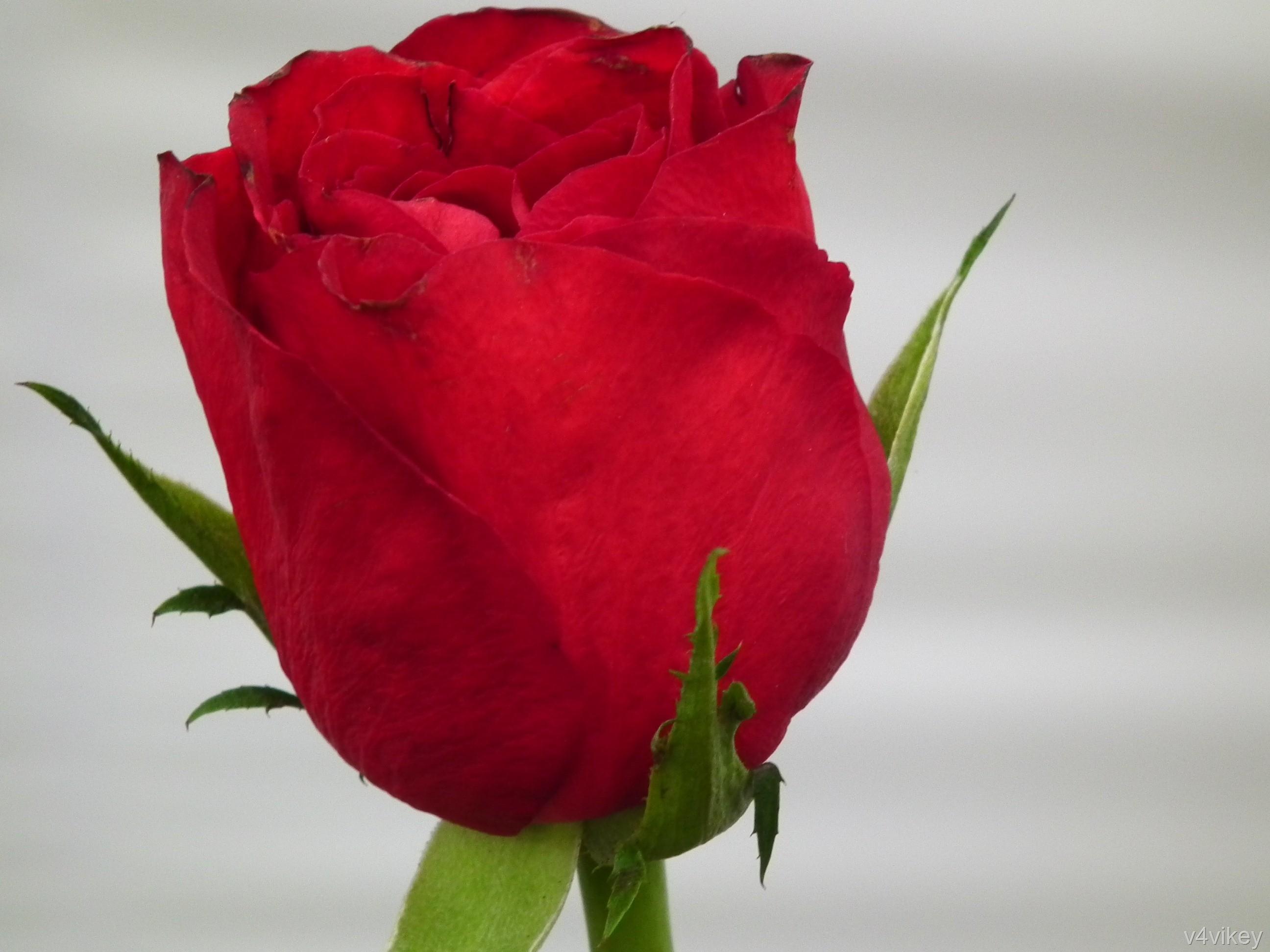 Single Rose Wallpapers: Single Red Rose Wallpaper (56+ Images