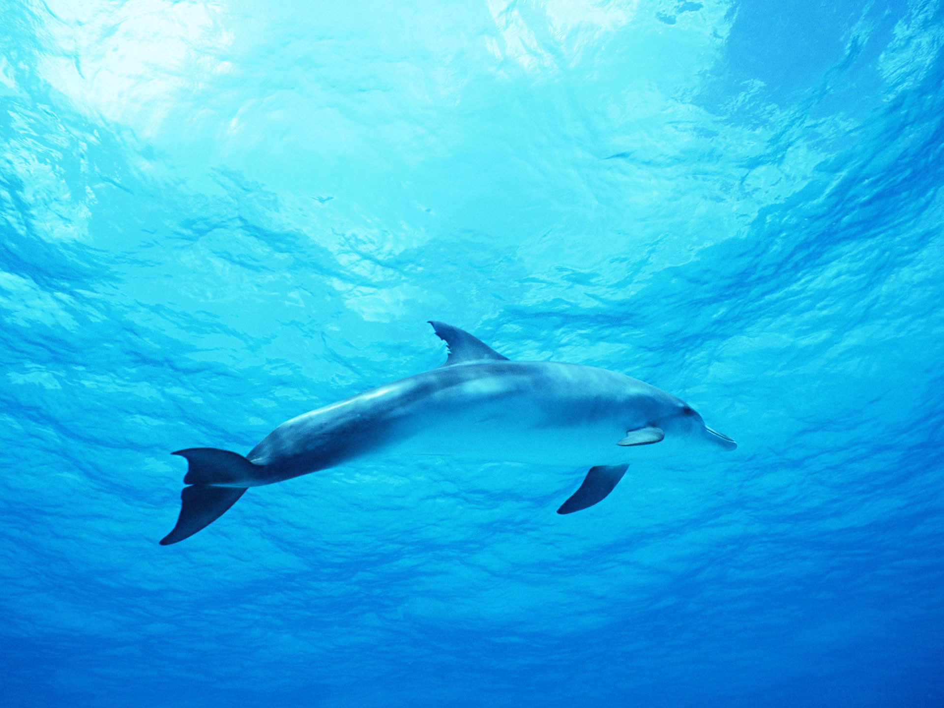 1920x1440 Dolphin in Deep Blue Sea