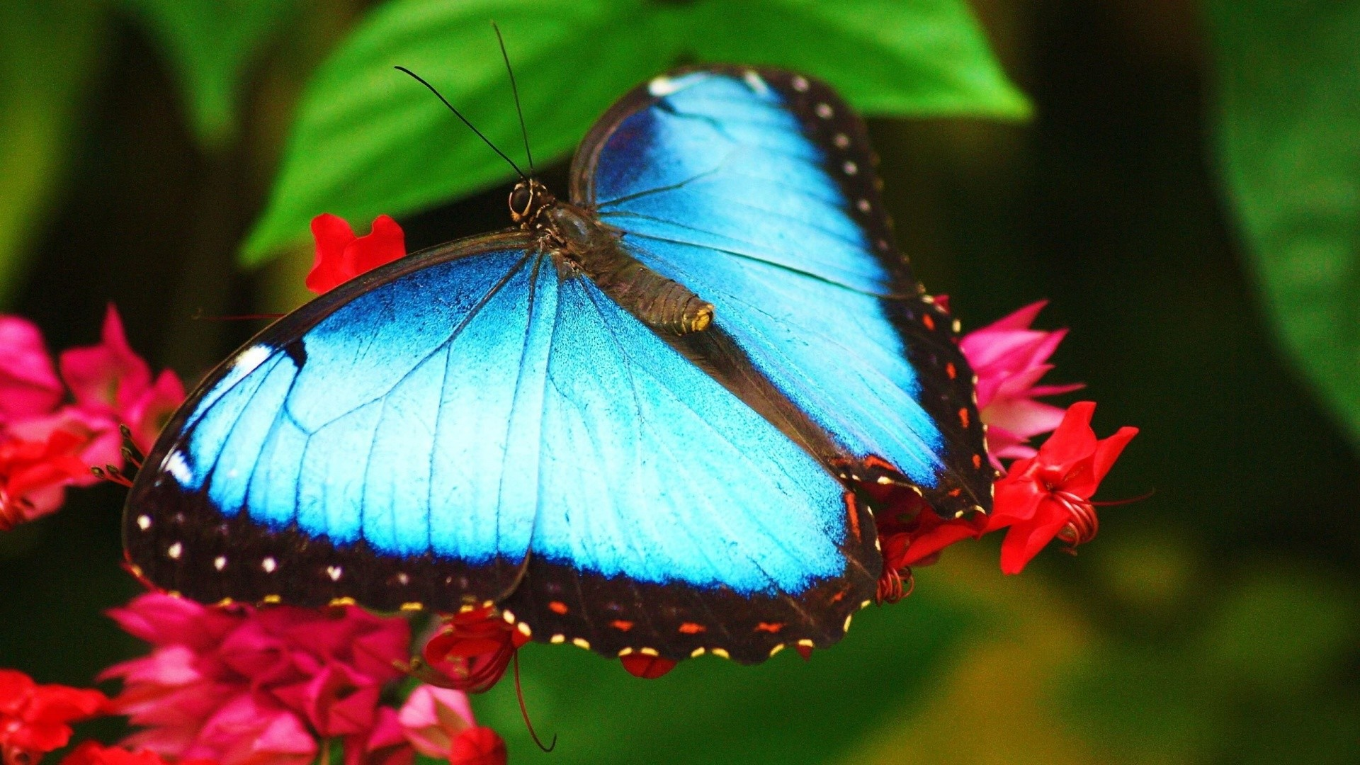 Blue Butterfly HD Wallpaper (70+ Images