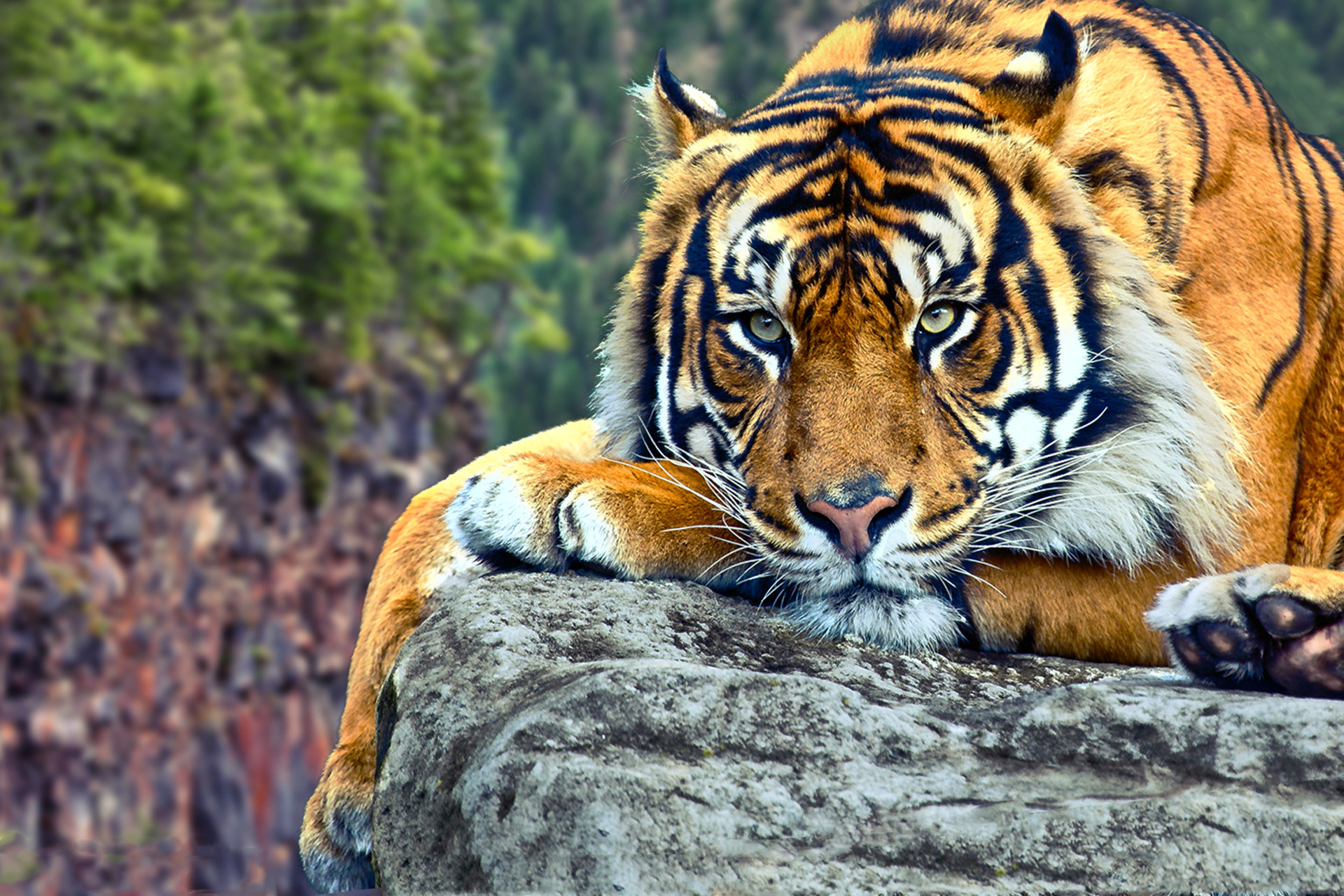 1920x1280 ... Tiger Wallpapers HD Group (9)