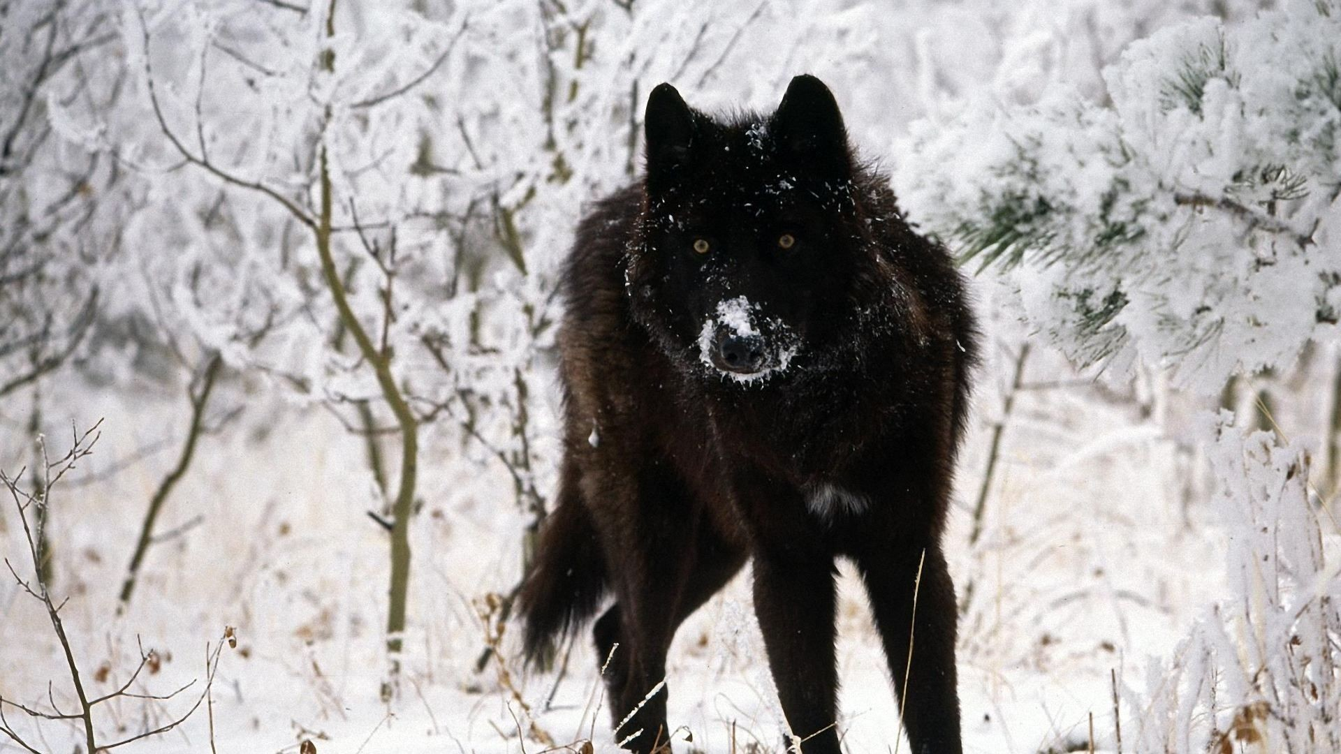 1920x1080 Black wolf wallpapers hd cool phone backgrounds amazing best hd .