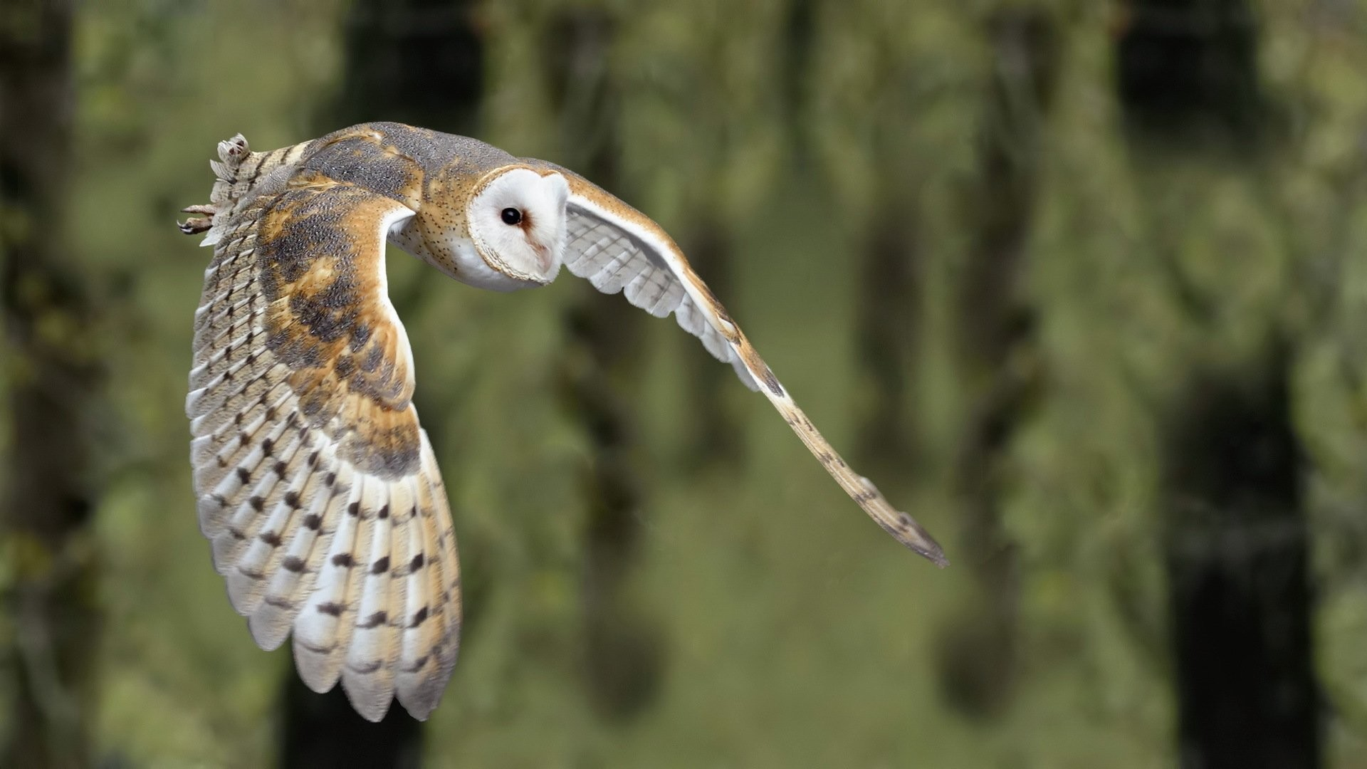 1920x1080 Animal - Barn owl Wallpaper