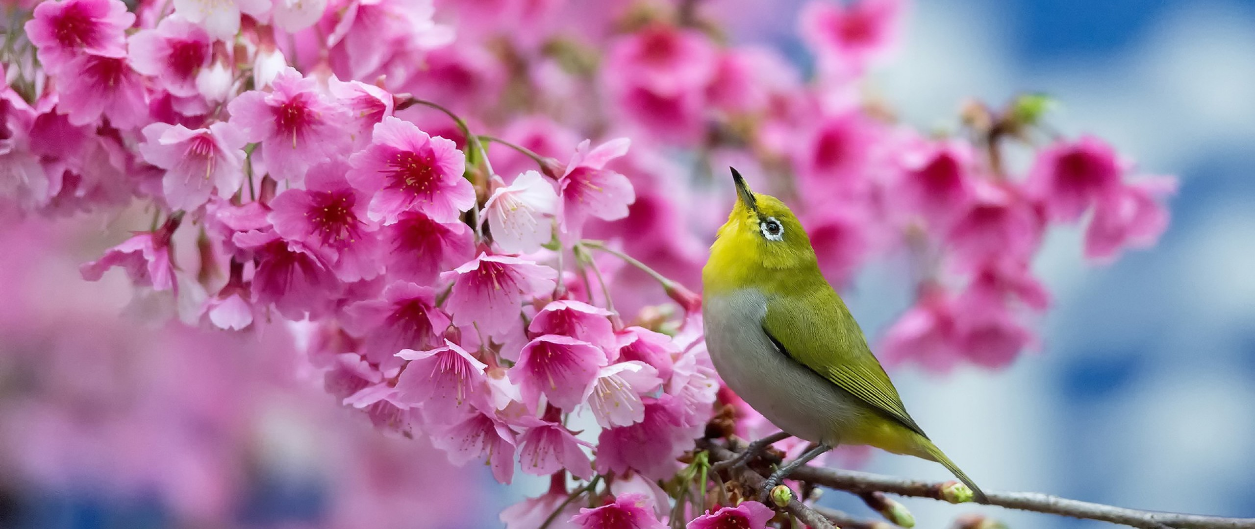 2560x1080 Preview wallpaper spring, cherry, branch, flowers, beauty, japanese  white-eye