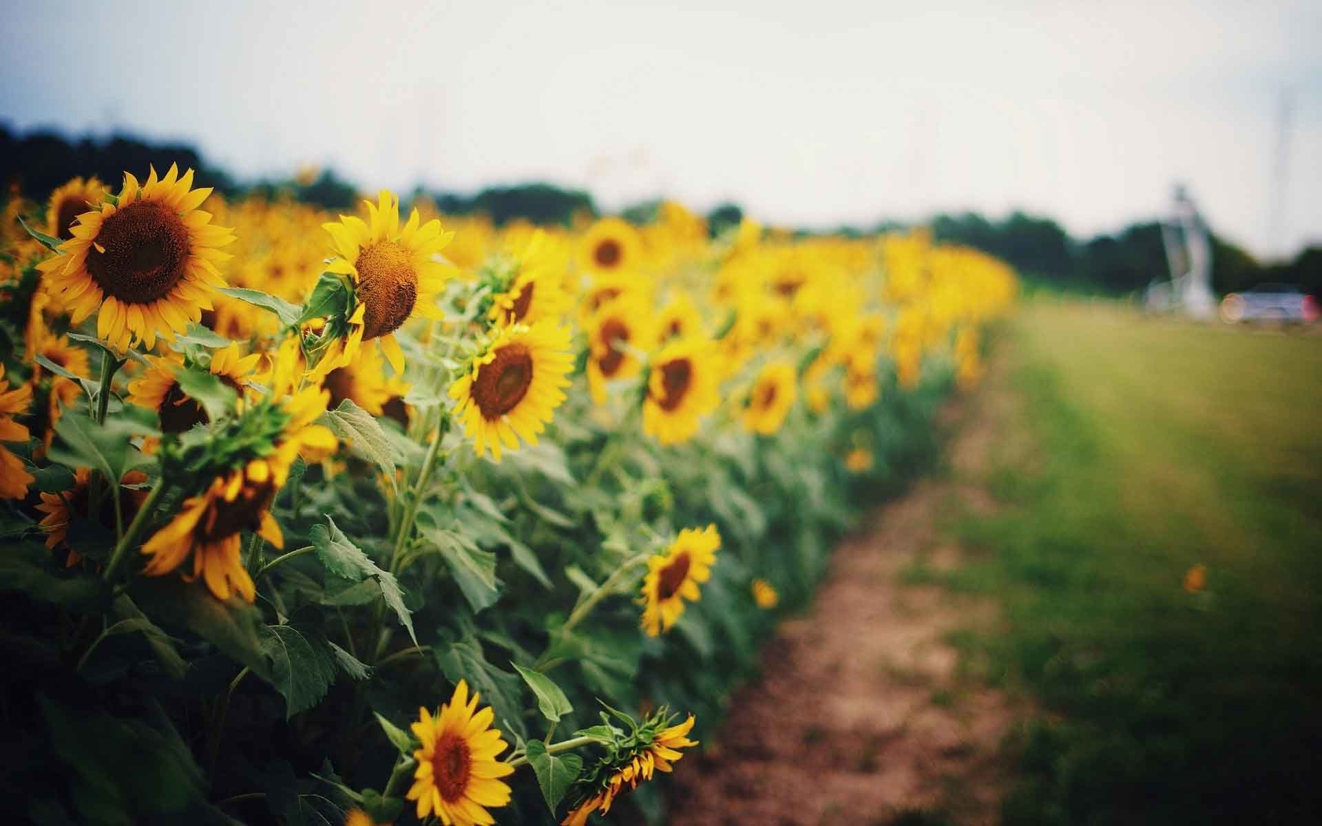 Sunflowers Wallpapers and Pictures for mobile and