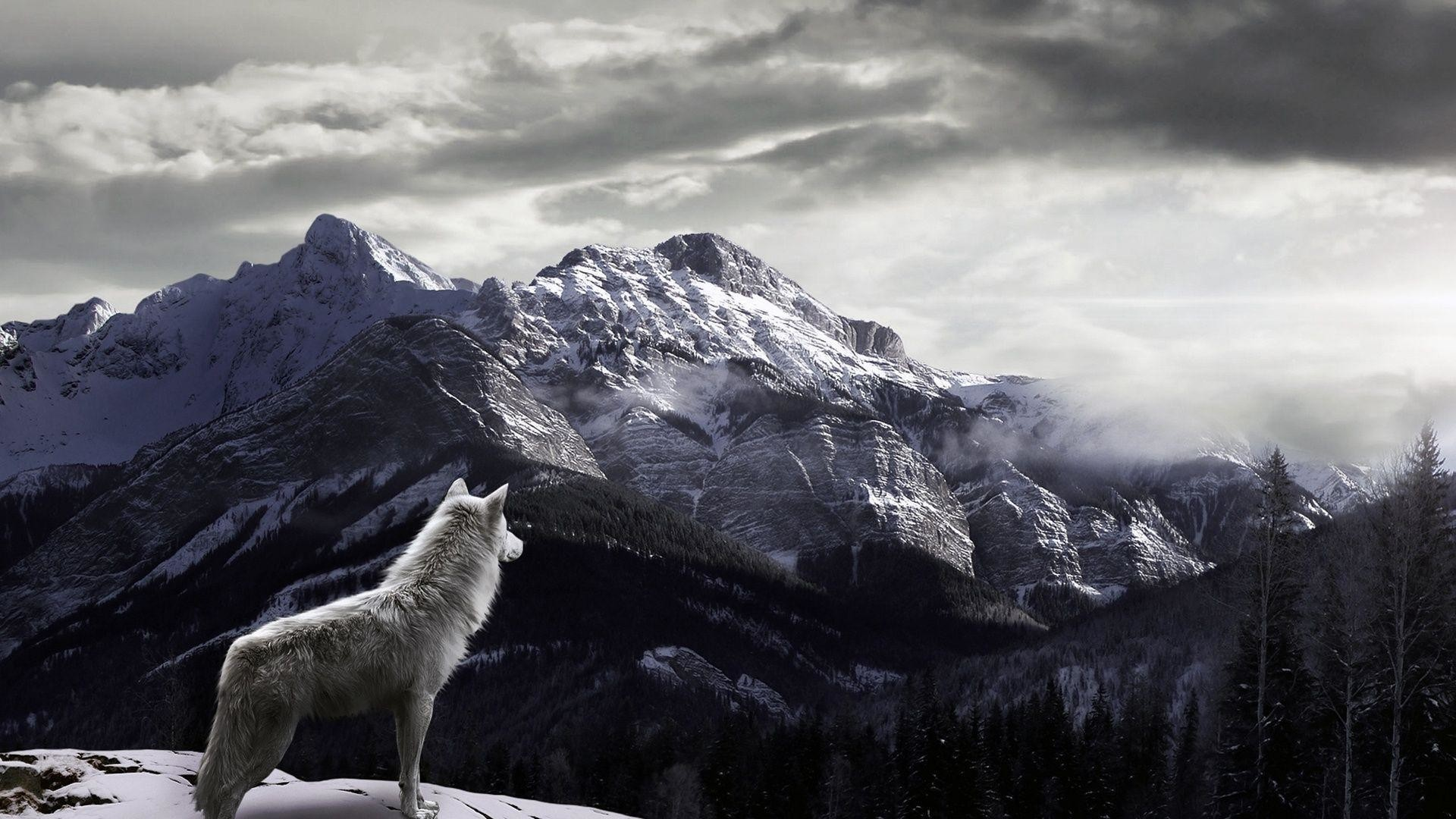 1920x1080 The White Wolf Wallpapers Design PX ~ White Wolf .