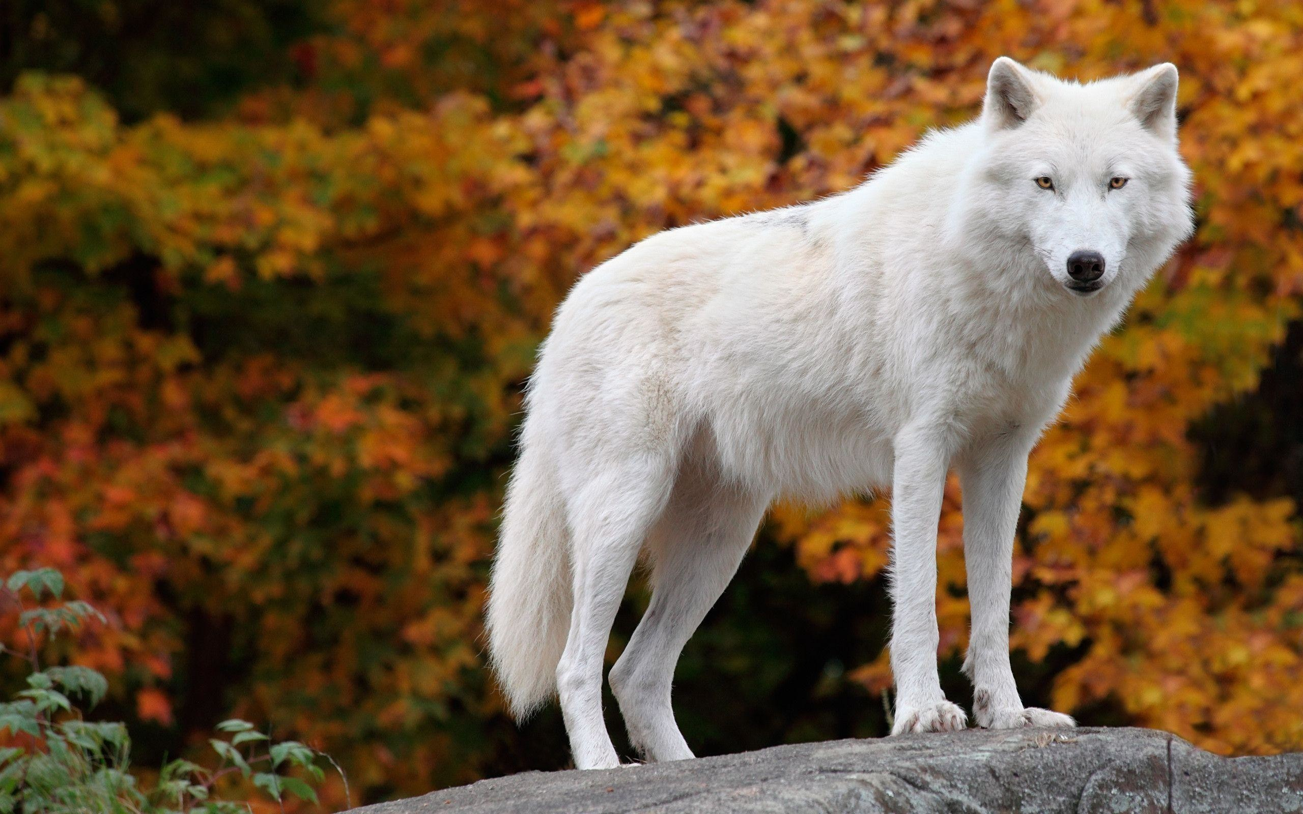 2560x1600 arctic-wolf-images-hd-wallpapers-wallpaper-greenland-husky-