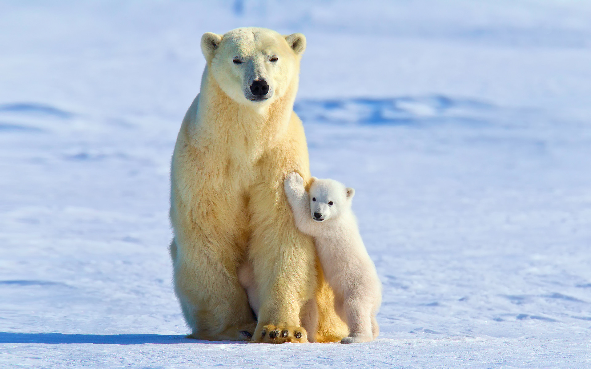polar animals snow ice bear baby fauna bears arctic animal tundra desktop wallpapers wildlife backgrounds terrestrial mobile resolution px background