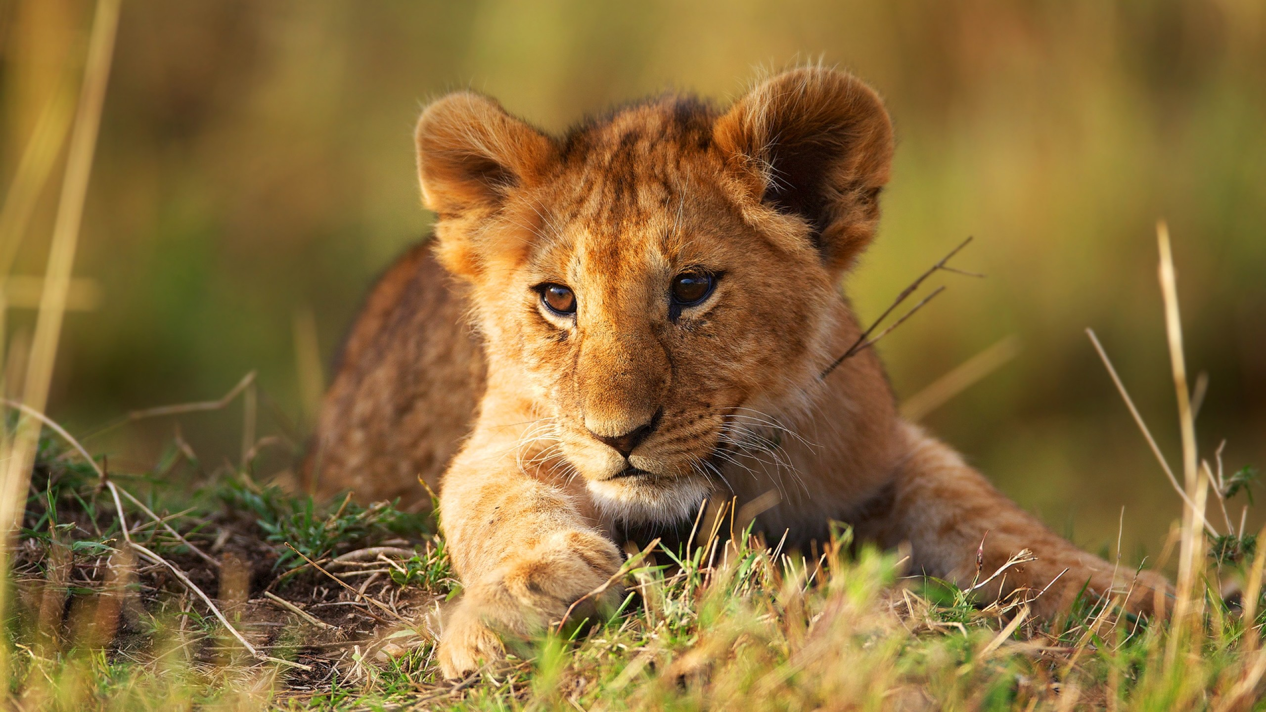 2560x1440  Wallpaper lion cub, grass, lion