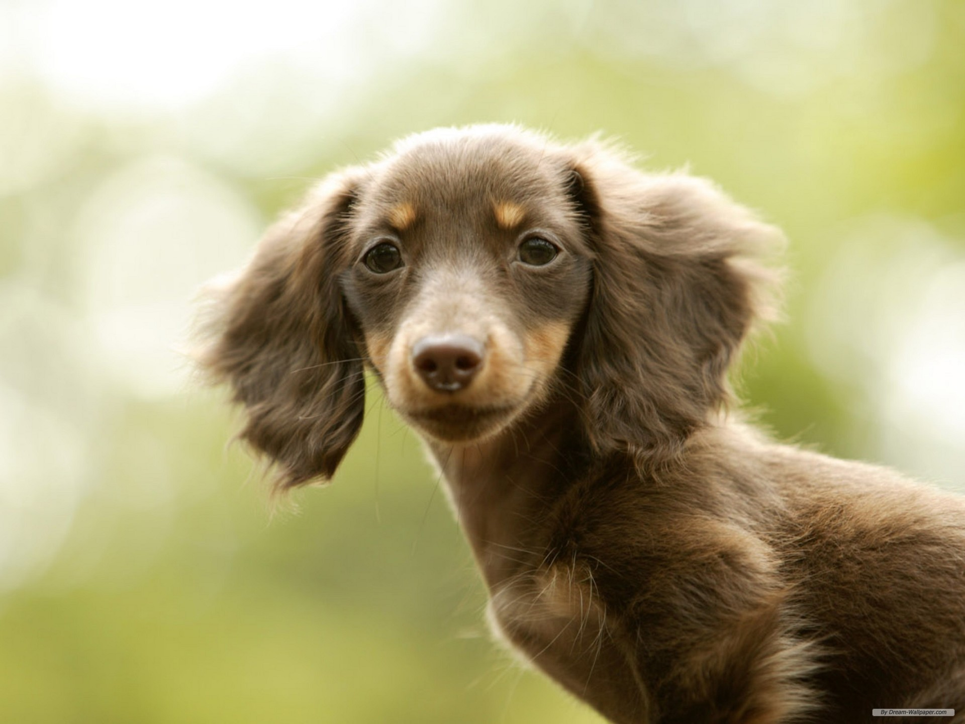 1920x1440 Free Animal wallpaper - Miniature Dachshund wallpaper -  wallpaper  - Index 15.