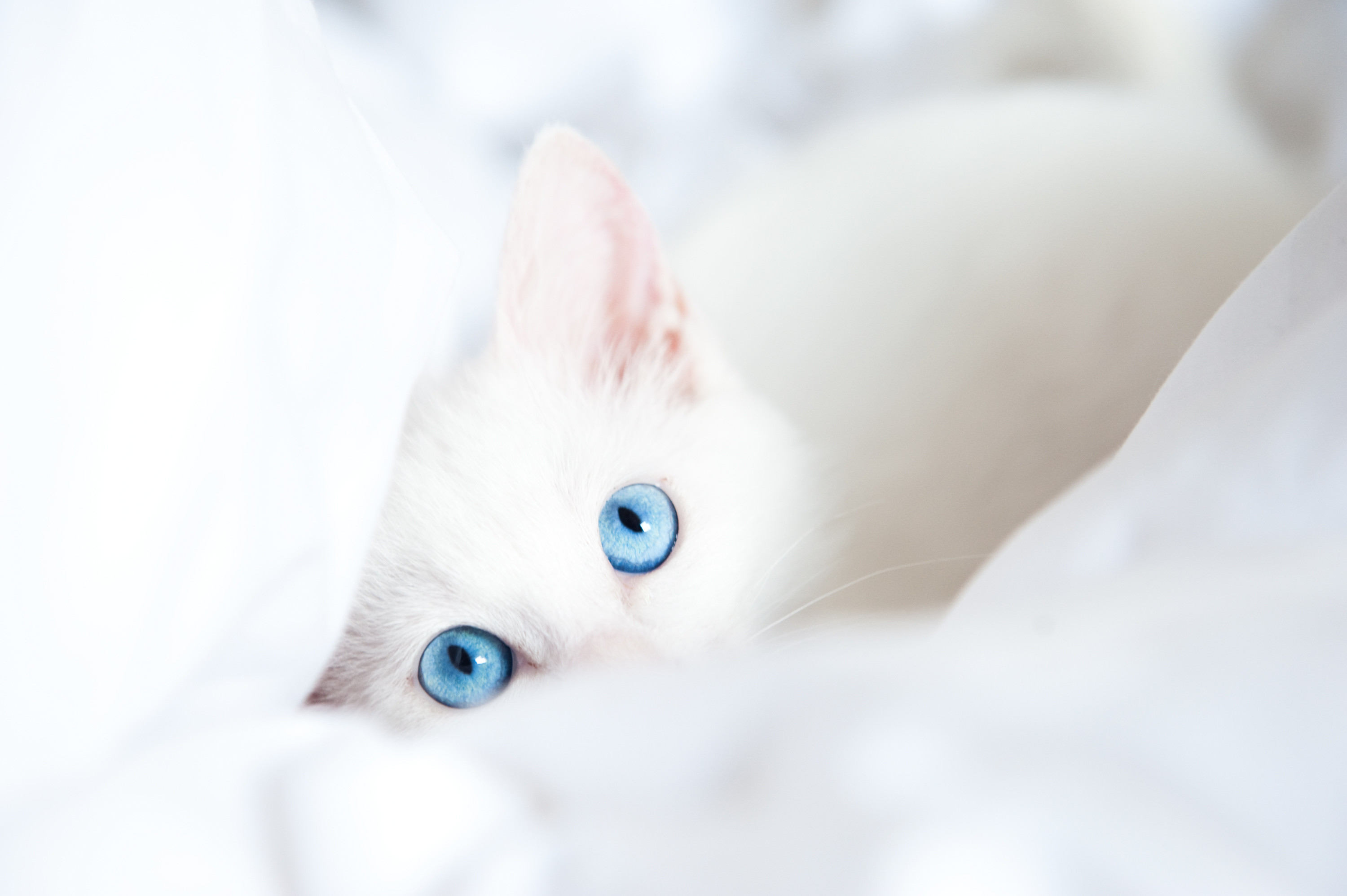 3000x1996 Cats Eyes Glance White Animals kitten kittens baby wallpaper .