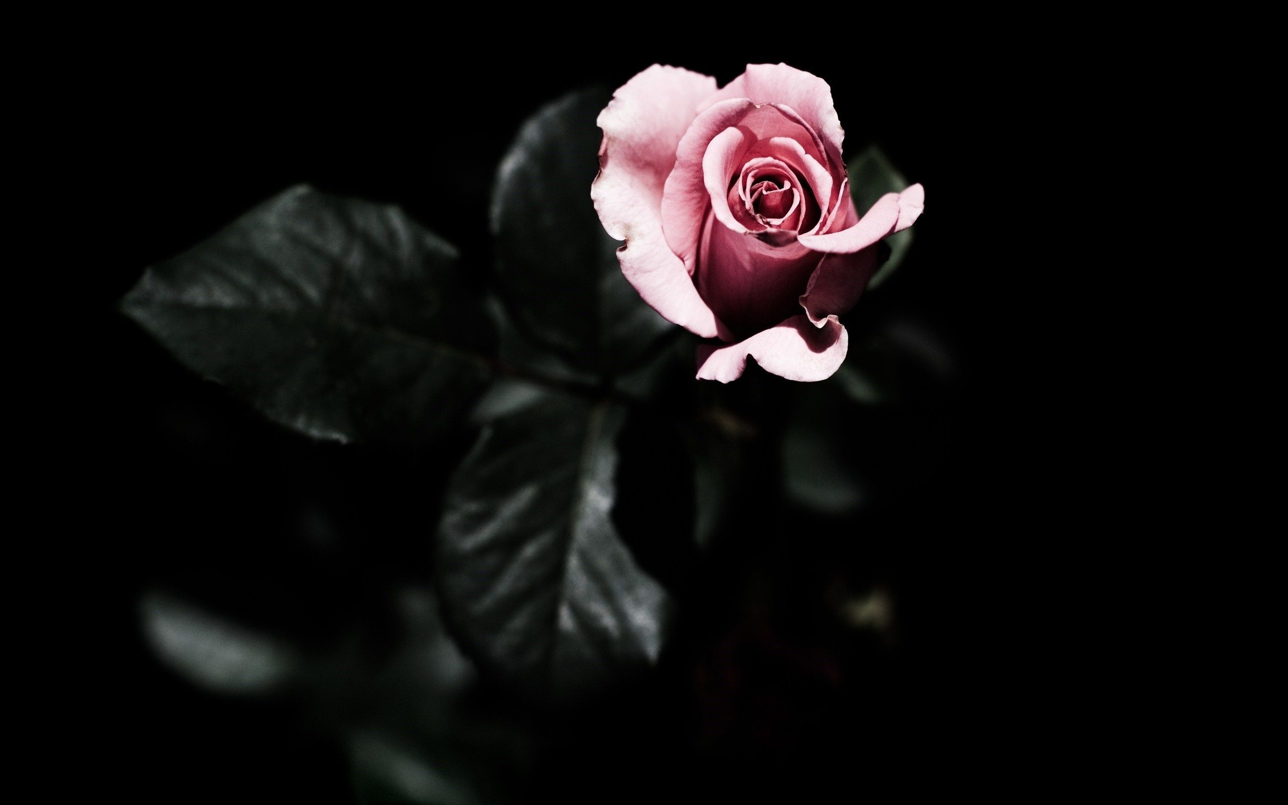 Pink And Black Rose Wallpaper 69 Images