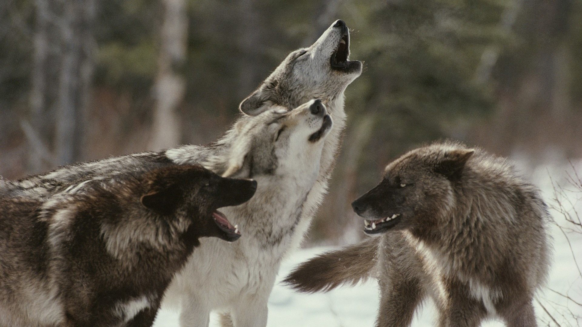 1920x1080 Wolves Tag - Snow Predator Wildlife Fangs Fur Trees Winter Muzzle Howl  Animals Emotion Forest Mood