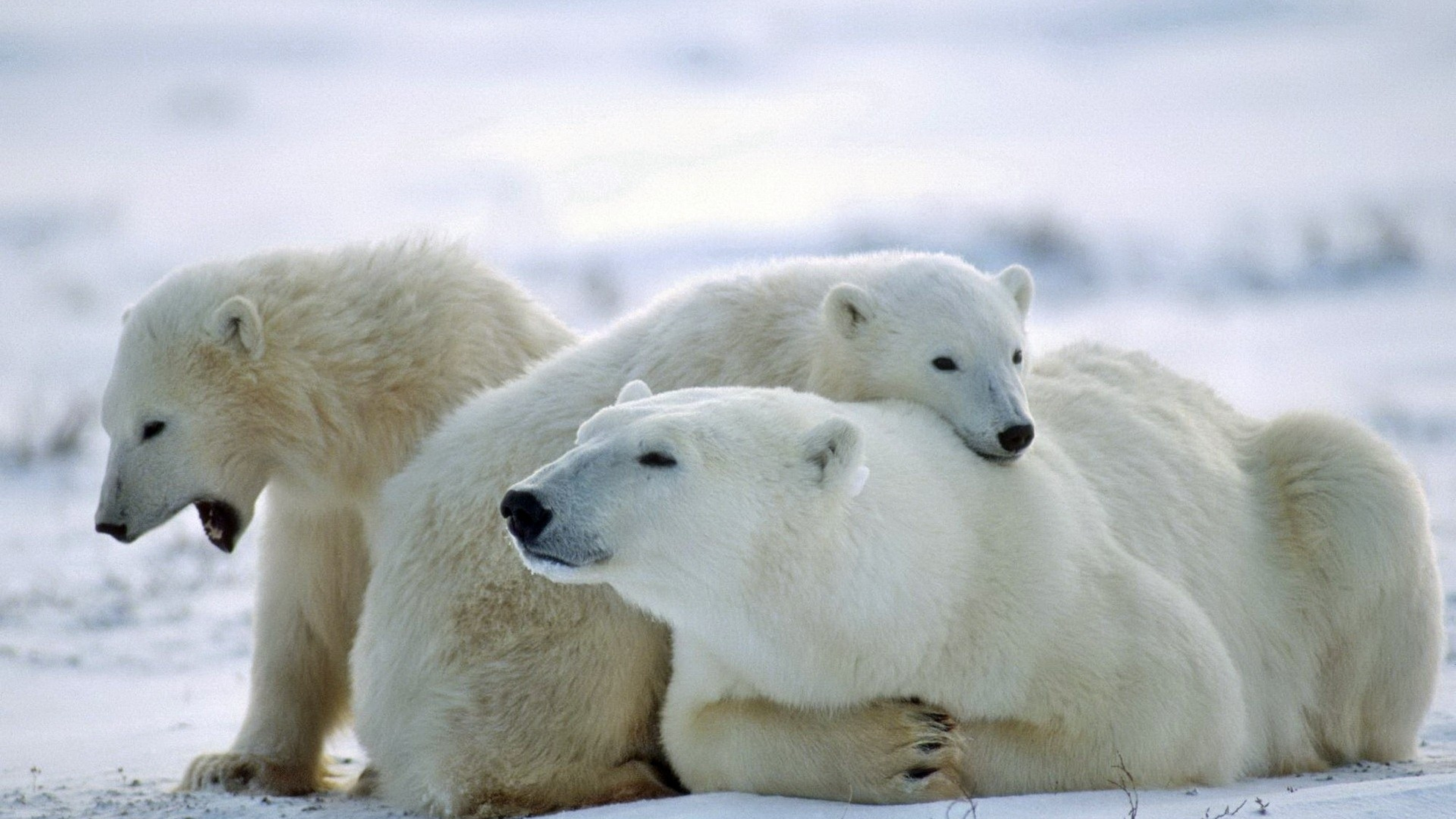 3840x2160  Wallpaper bear, polar bear, family, care, snow