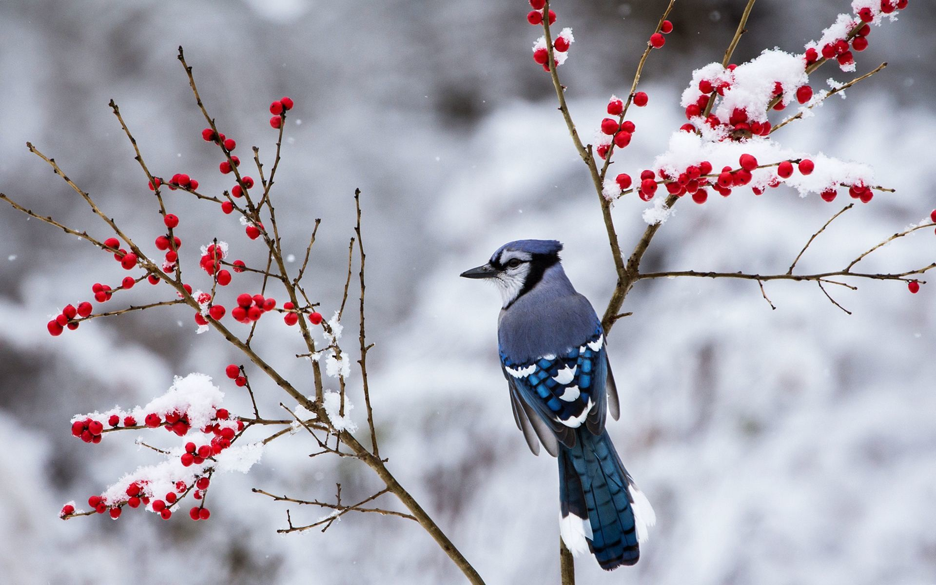 1920x1200 Beautiful Snow Bird Wallpaper 38533