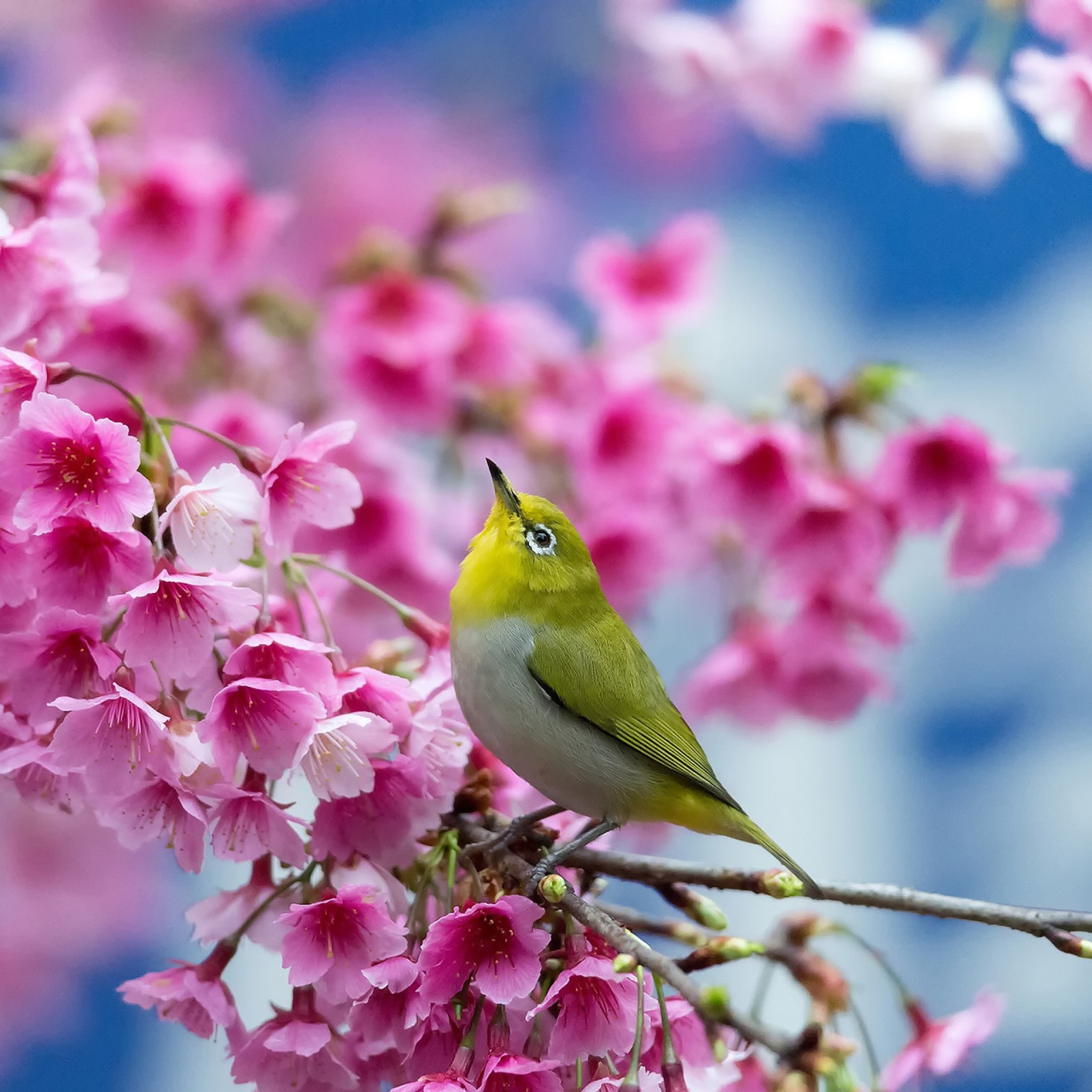 2048x2048 Preview wallpaper spring, cherry, branch, flowers, beauty, japanese  white-eye