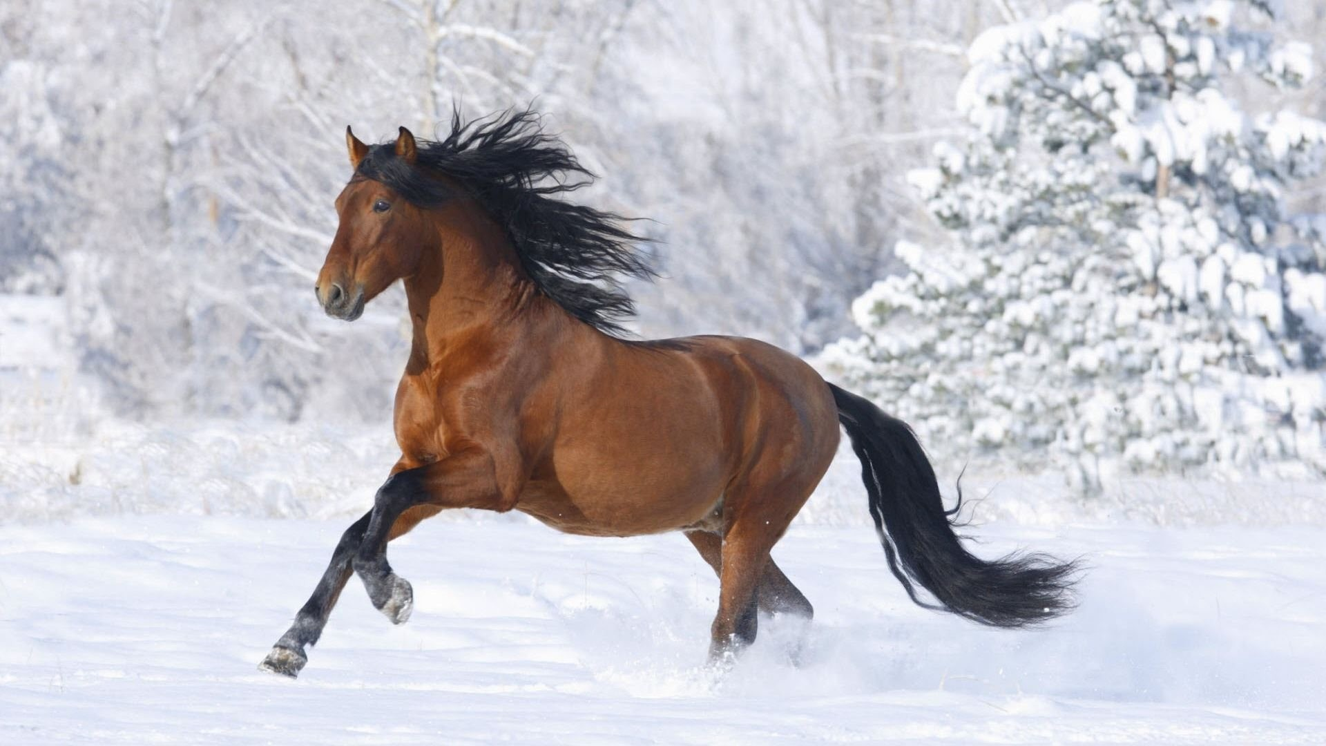 1920x1080 Cool Arabian Horse Images & Wallpapers Humphrey Cotte