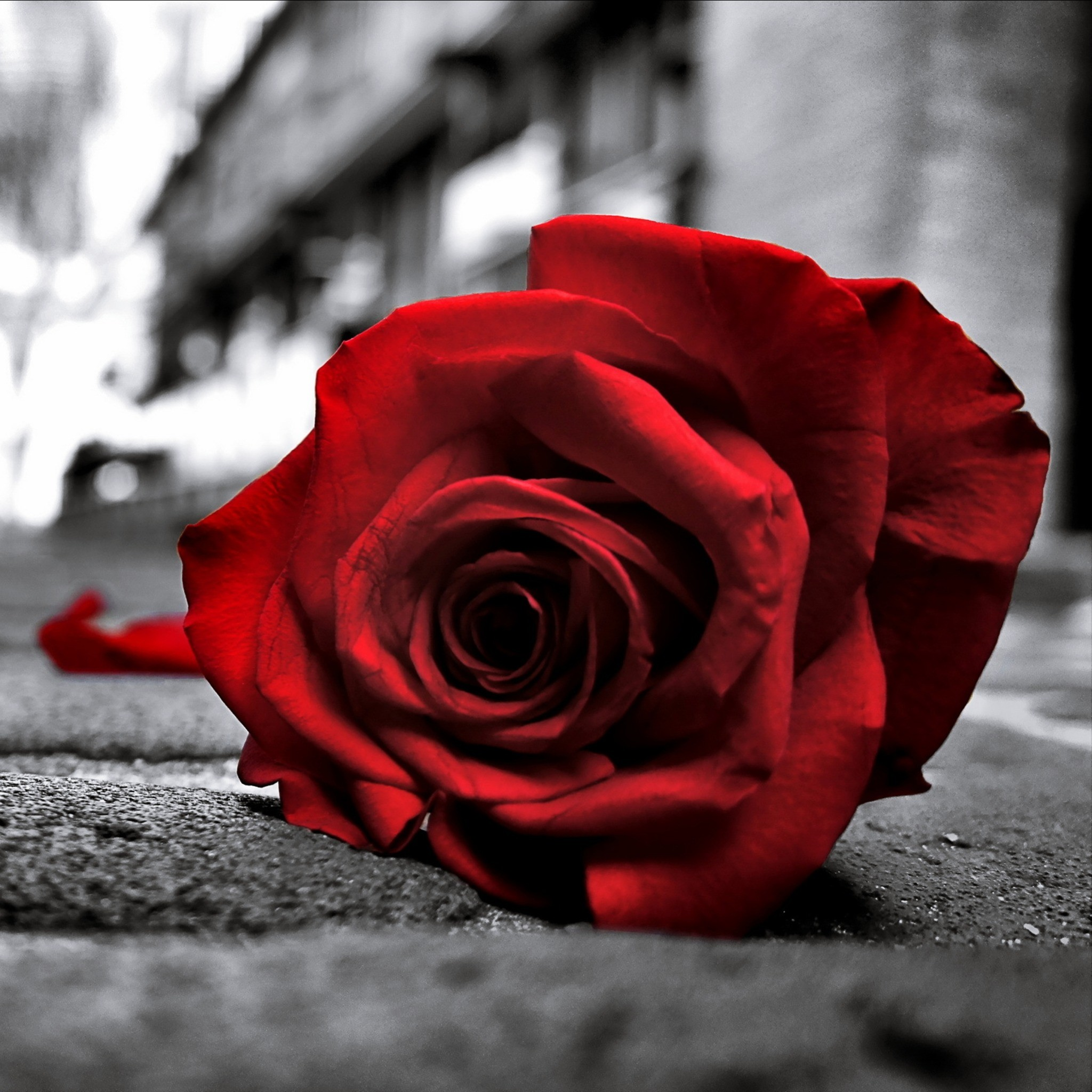 Black and red rose wallpaper 63 images - Black and red rose wallpaper ...