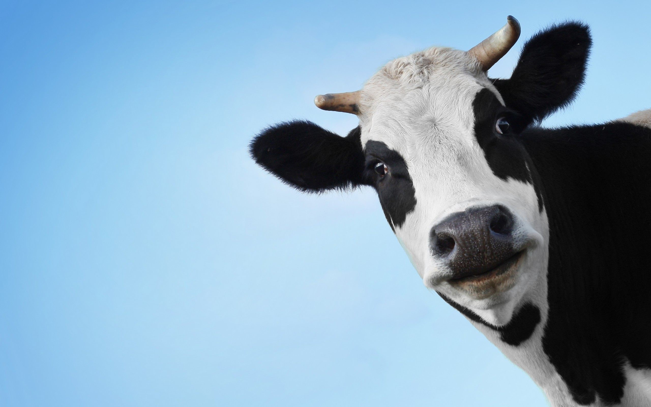 2560x1600 funny cow face wallpaper background 51979