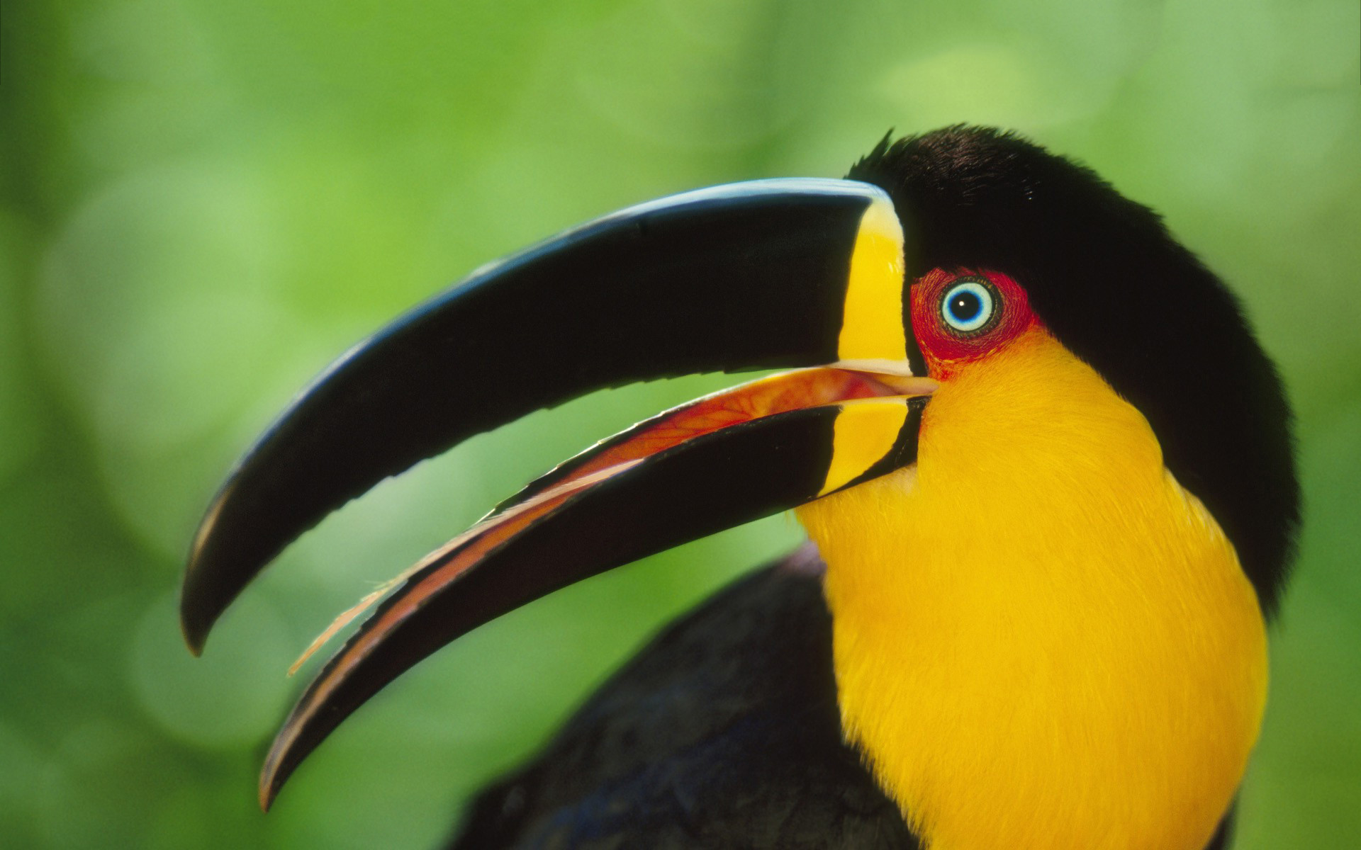1920x1200 Colored toucan hd
