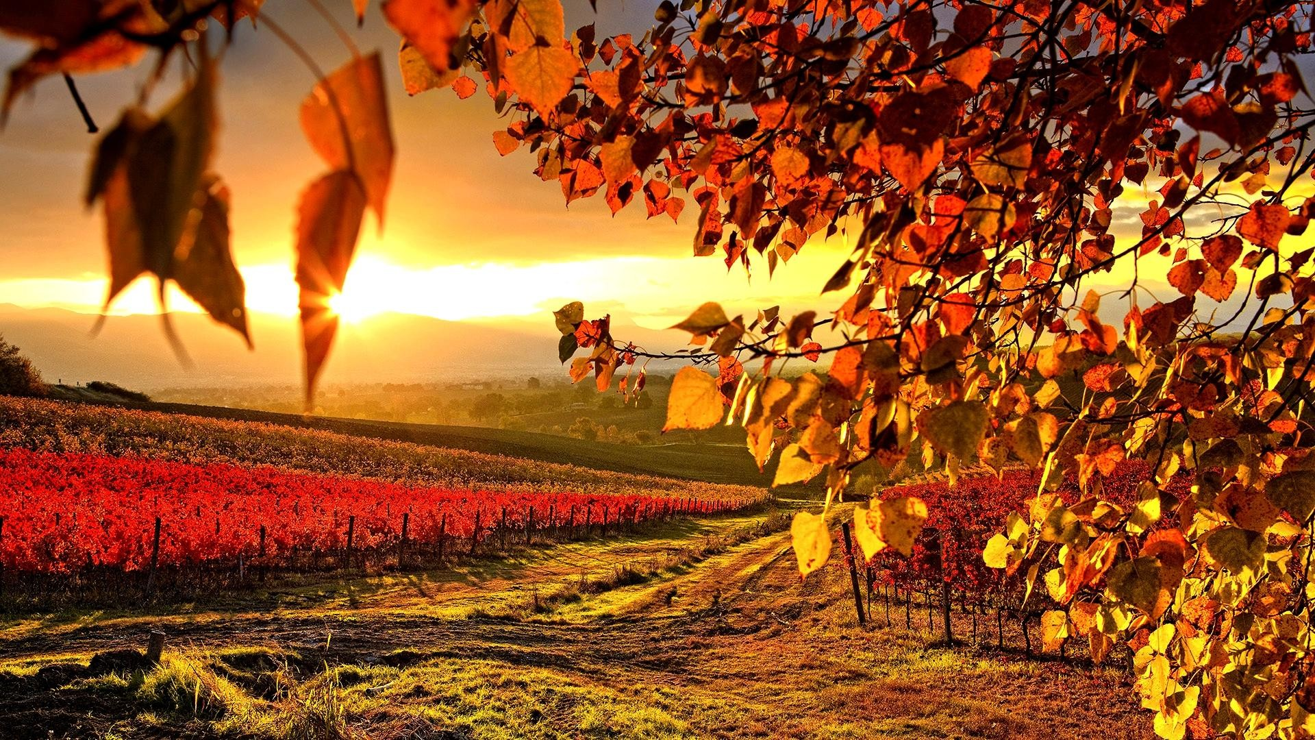 1920x1080 Beautiful Vineyard Wallpaper