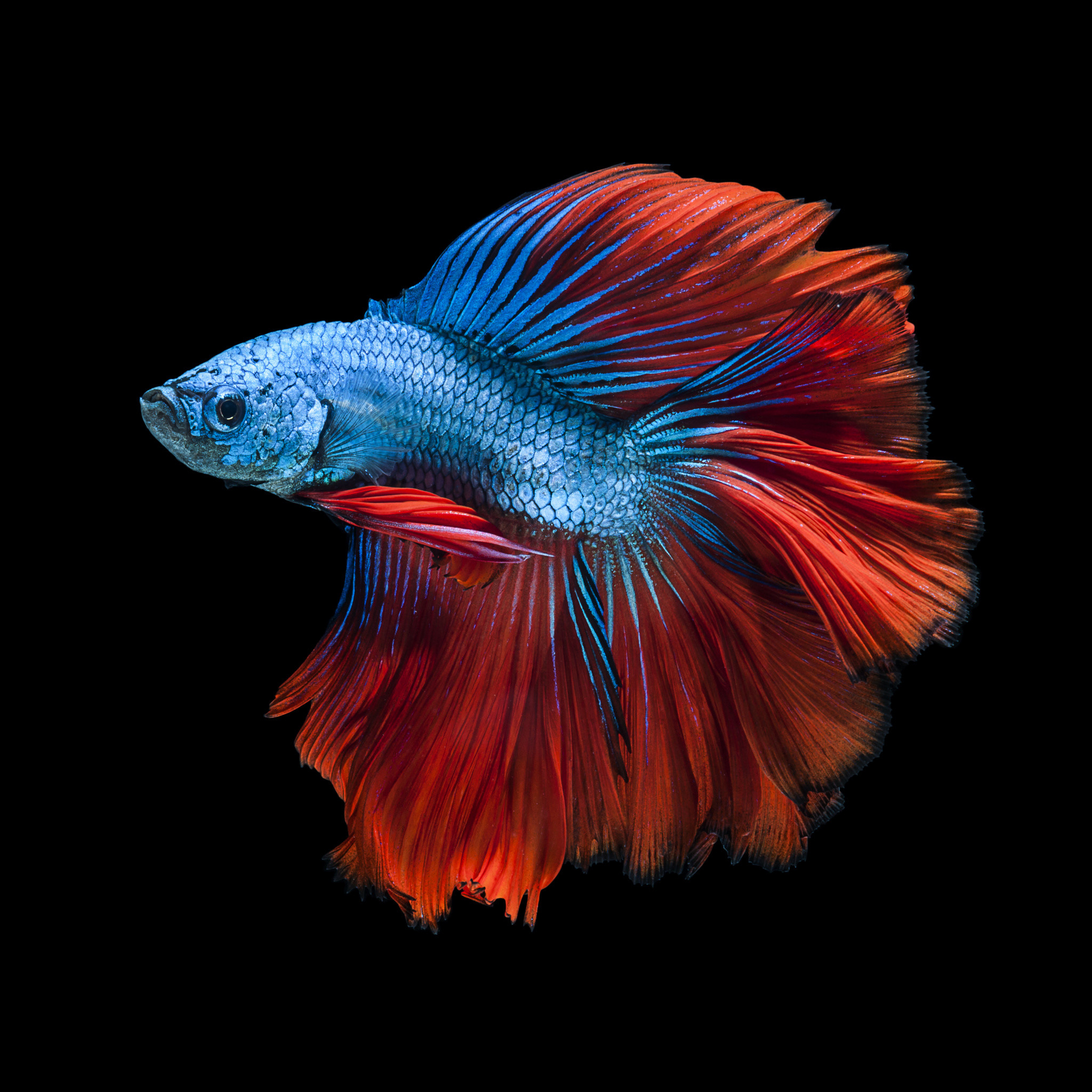 2048x2048 Capture the moving moment of red-blue siamese fighting fish by Jirawat  Plekhongthu on 500px. Colorful FishTropical FishFish WallpaperIphone 6 ...
