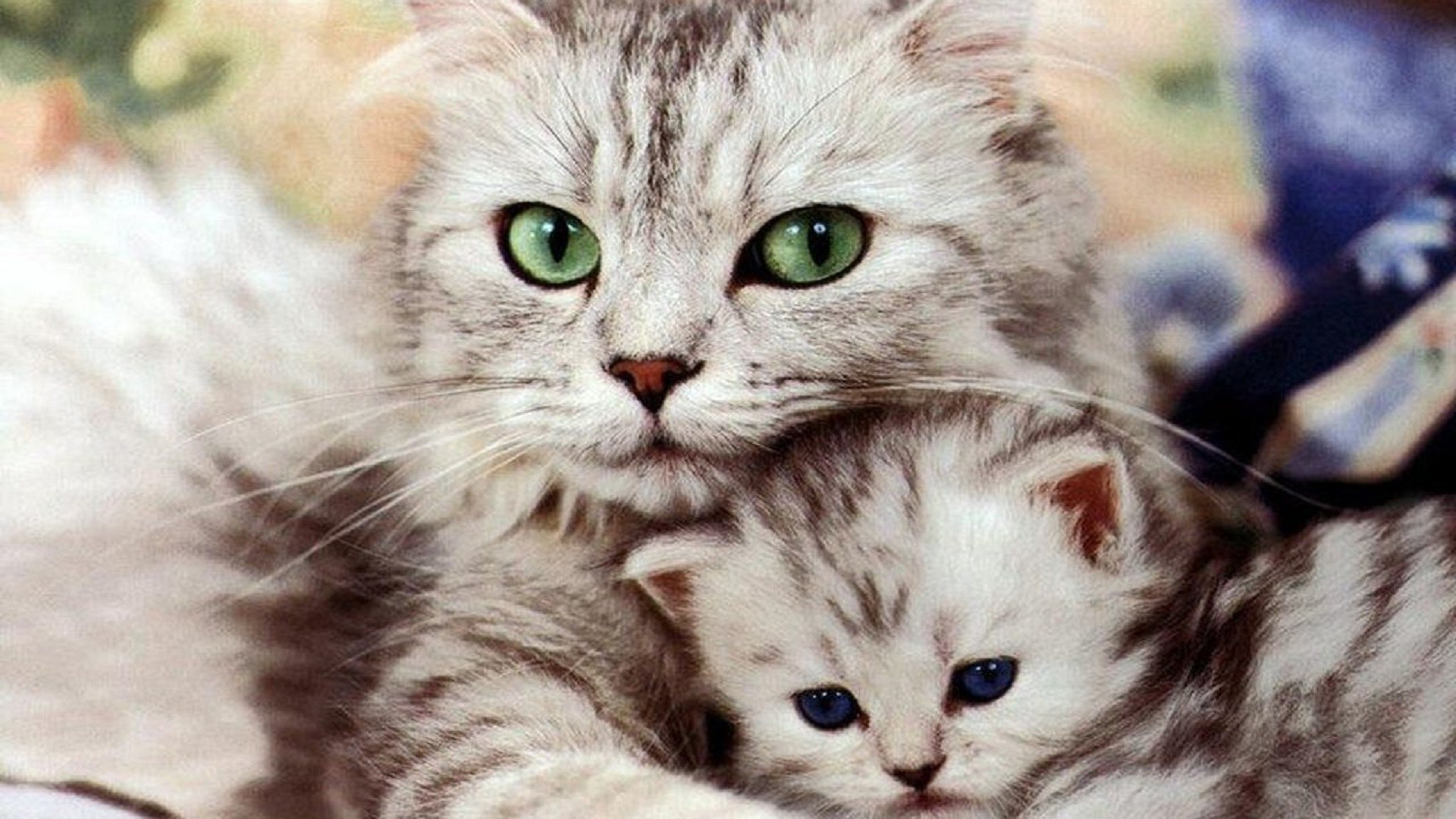1920x1080 Beautiful-Cat-and-Kitten-cats-free-hd-wallpapers