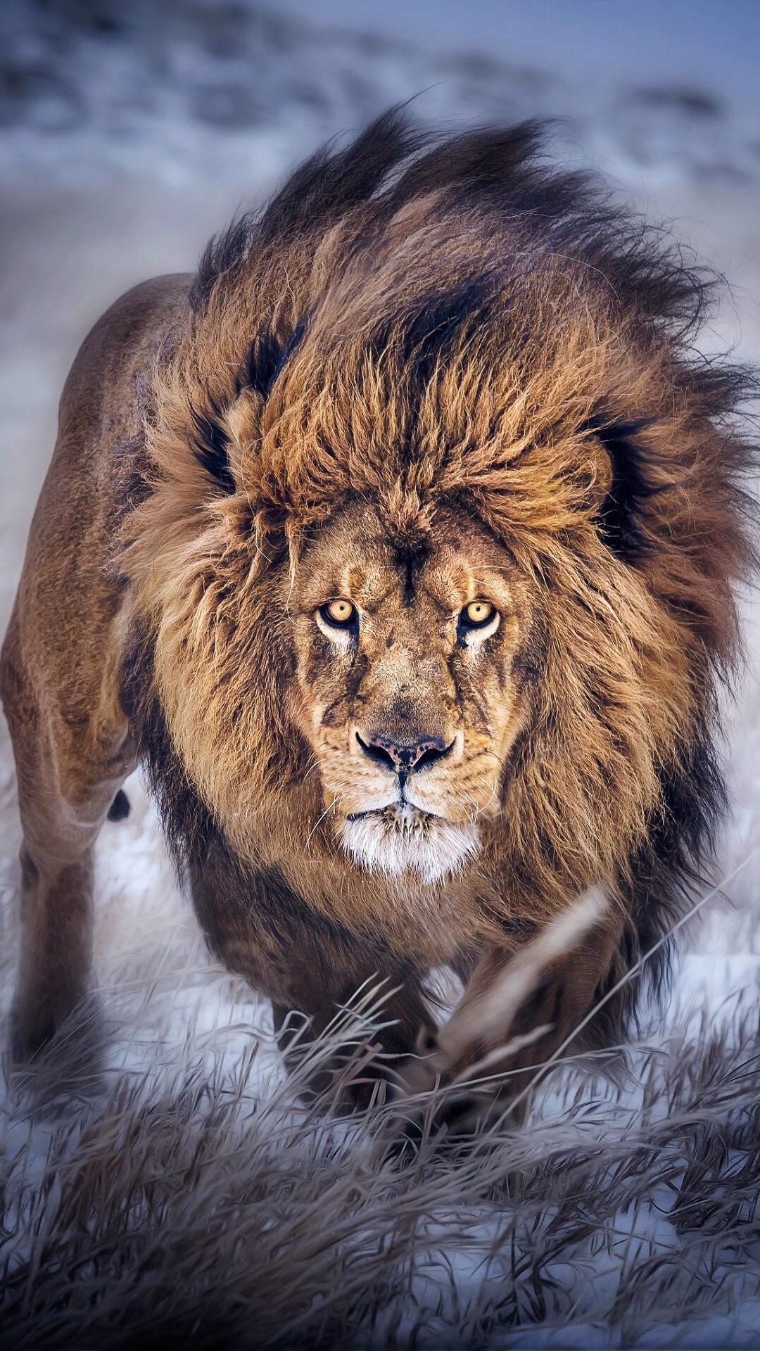 8k Animal Wallpaper Download: Lion Wallpaper (73+ Images