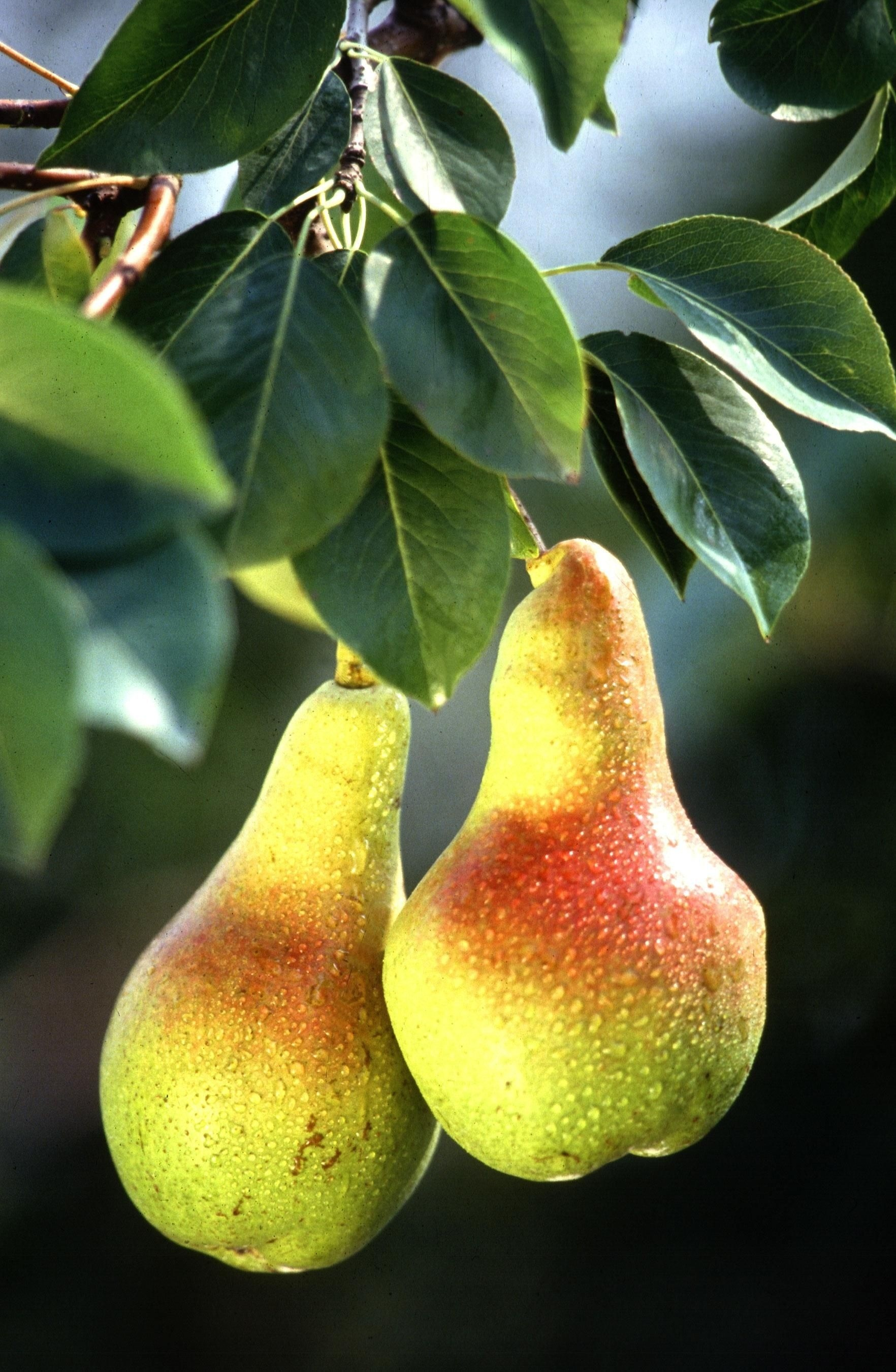Pear wallpaper 62 images 1920x1281 voltagebd Gallery