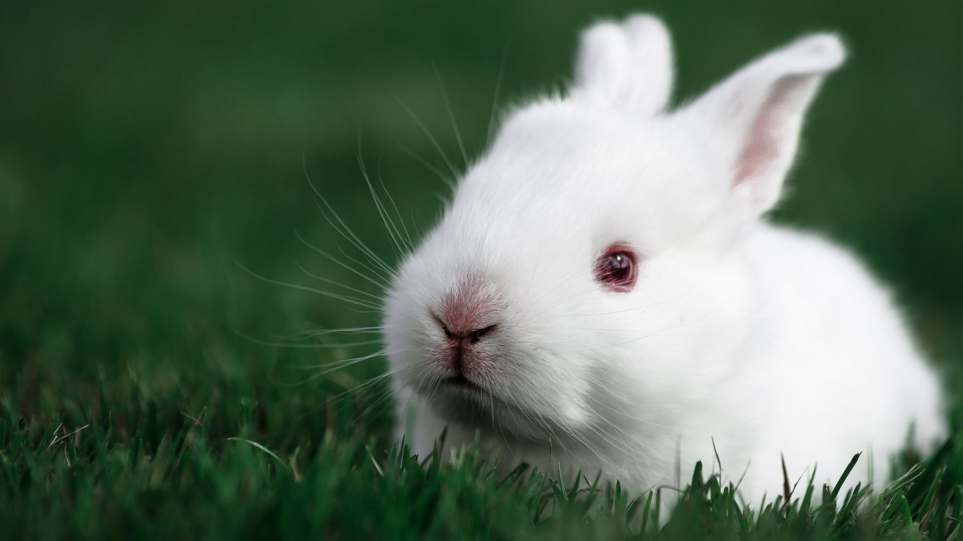 Cute White Rabbit Wallpapers For Desktop: Rabbit Wallpapers For Desktop (65+ Images