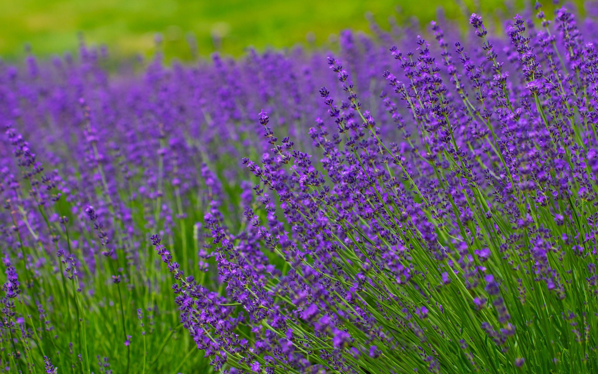 1920x1200 Lavender field hd wallpaper background HD Wallpapers