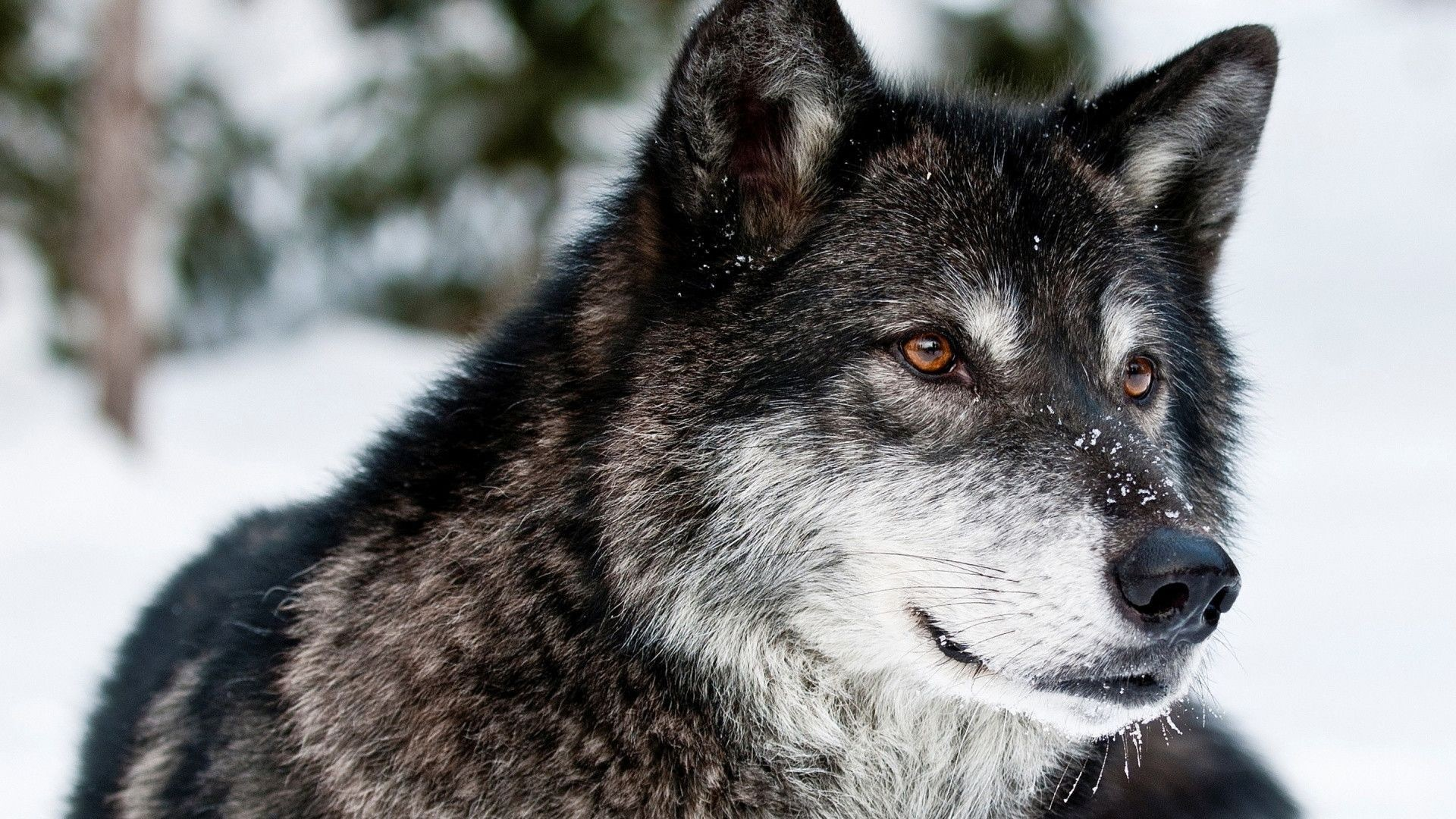 Awesome Wolf Wallpapers 61 Images