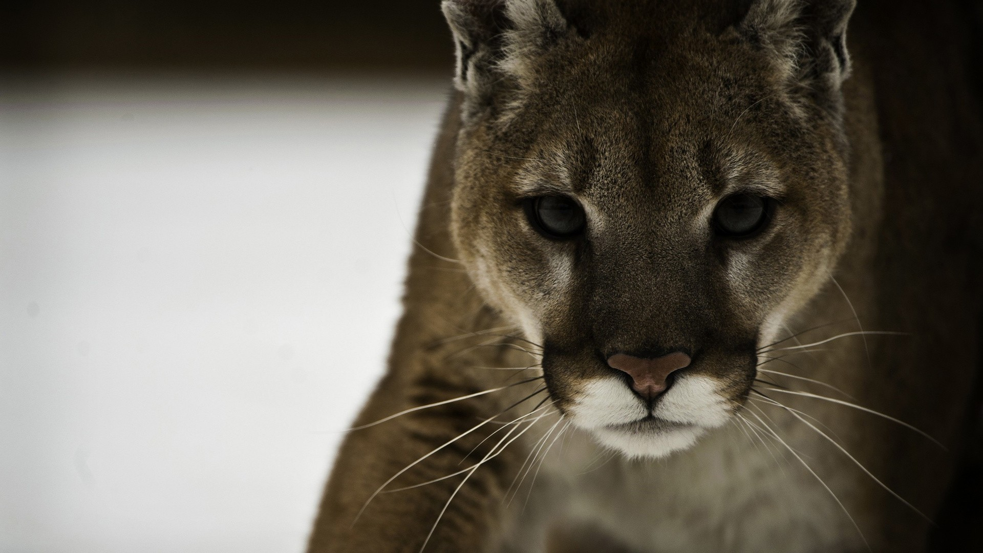 1920x1080 Cats - Cougar Puma Cat Photo Pictures for HD 16:9 High Definition 1080p 900p