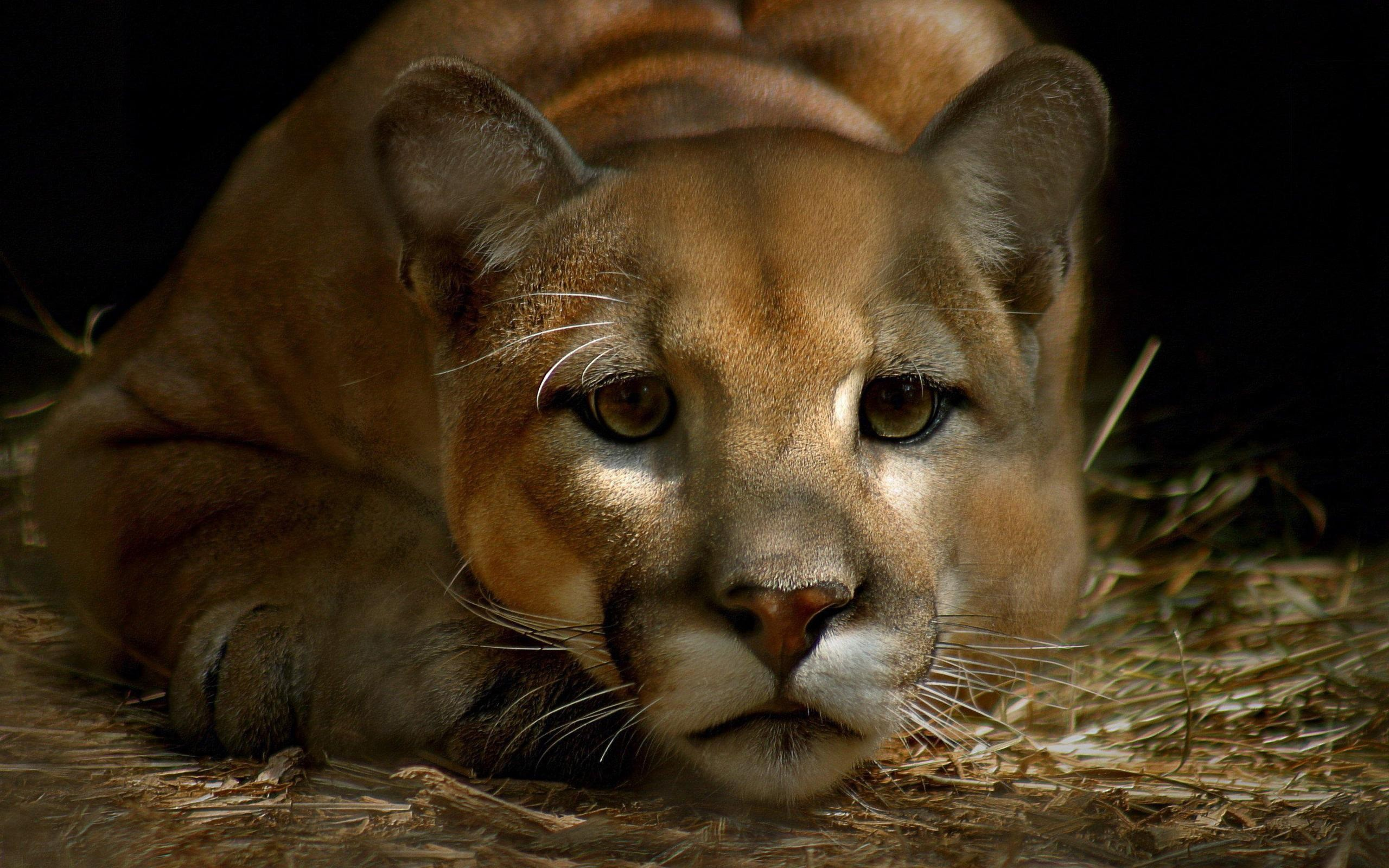 75 Hd Animals Ipad Backgrounds: Pumas Wallpaper (62+ Images