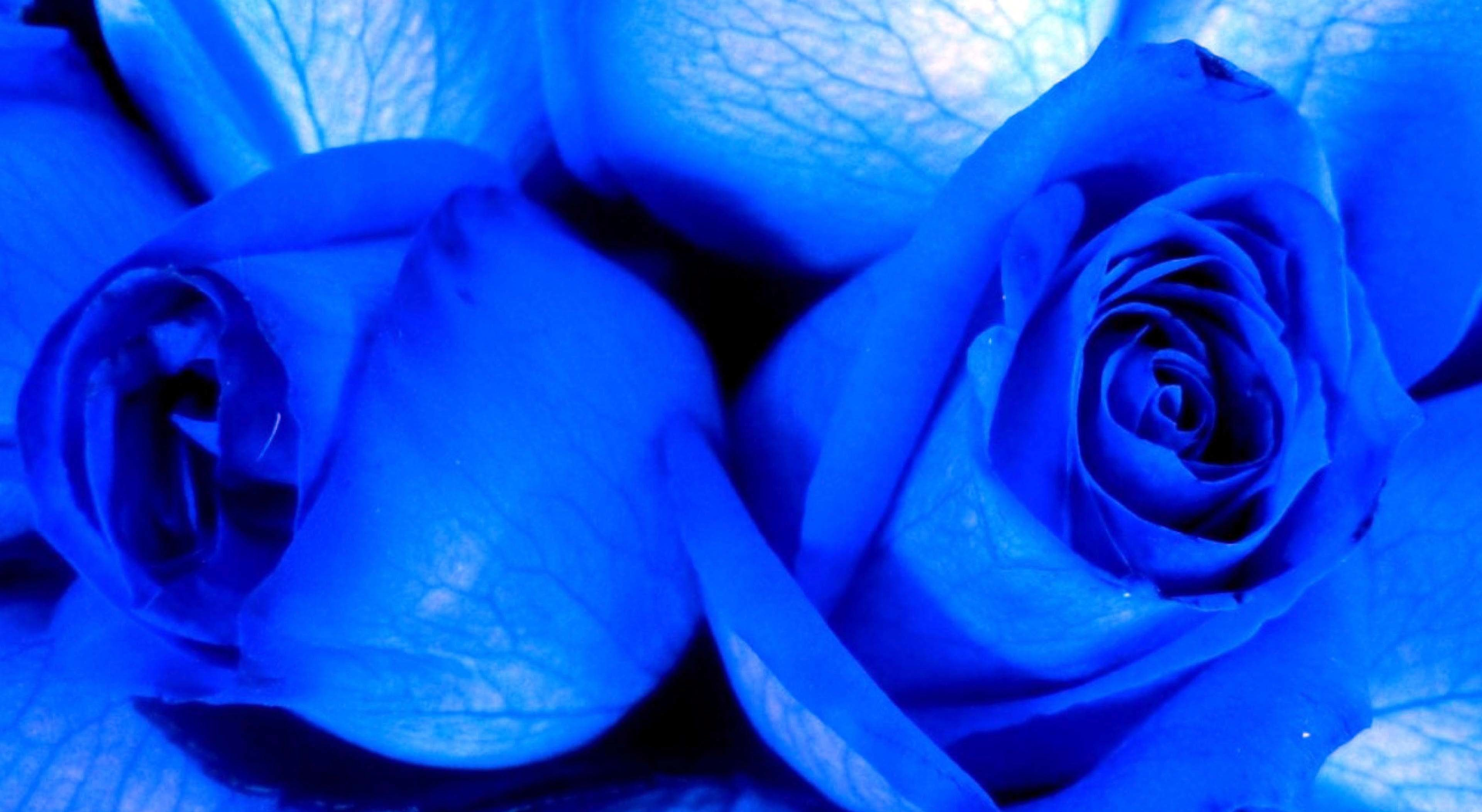 Blue Roses Background (48+ Images