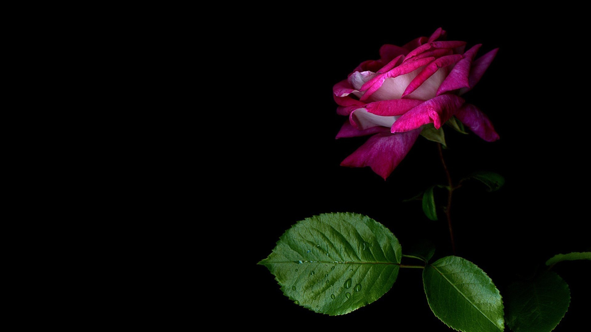 Pink and black backgrounds for desktop 58 images - Pink rose black background wallpaper ...