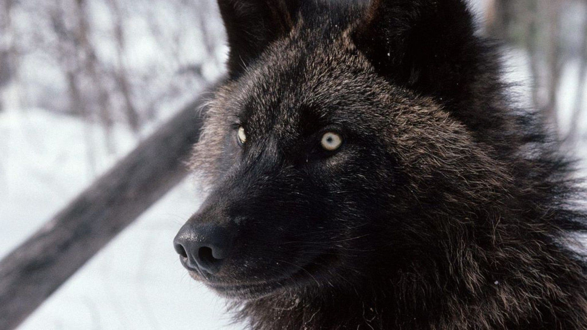 1920x1080 black wolf hd images