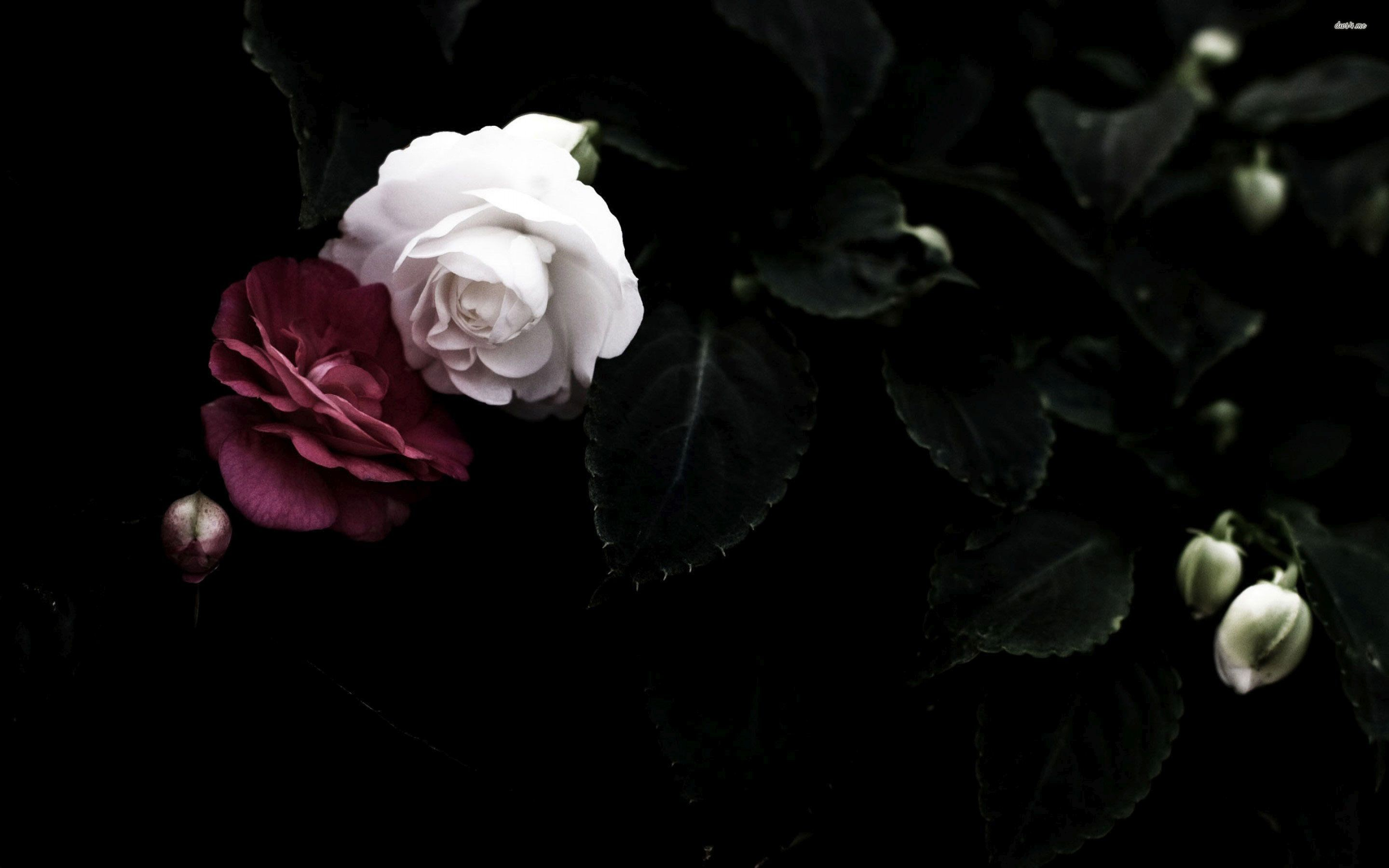 White Rose Flowers Wallpapers: Black And Red Rose Wallpaper (63+ Images