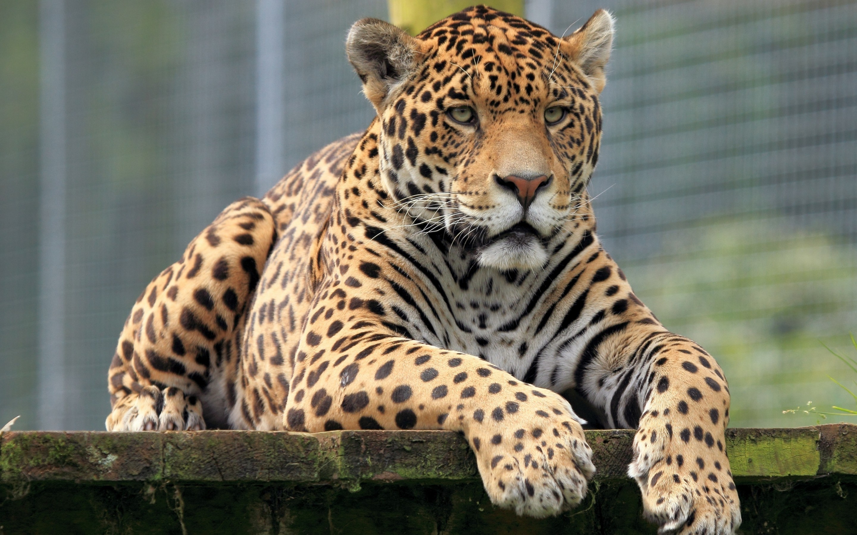 2880x1800 Tiere - Jaguar Wallpaper